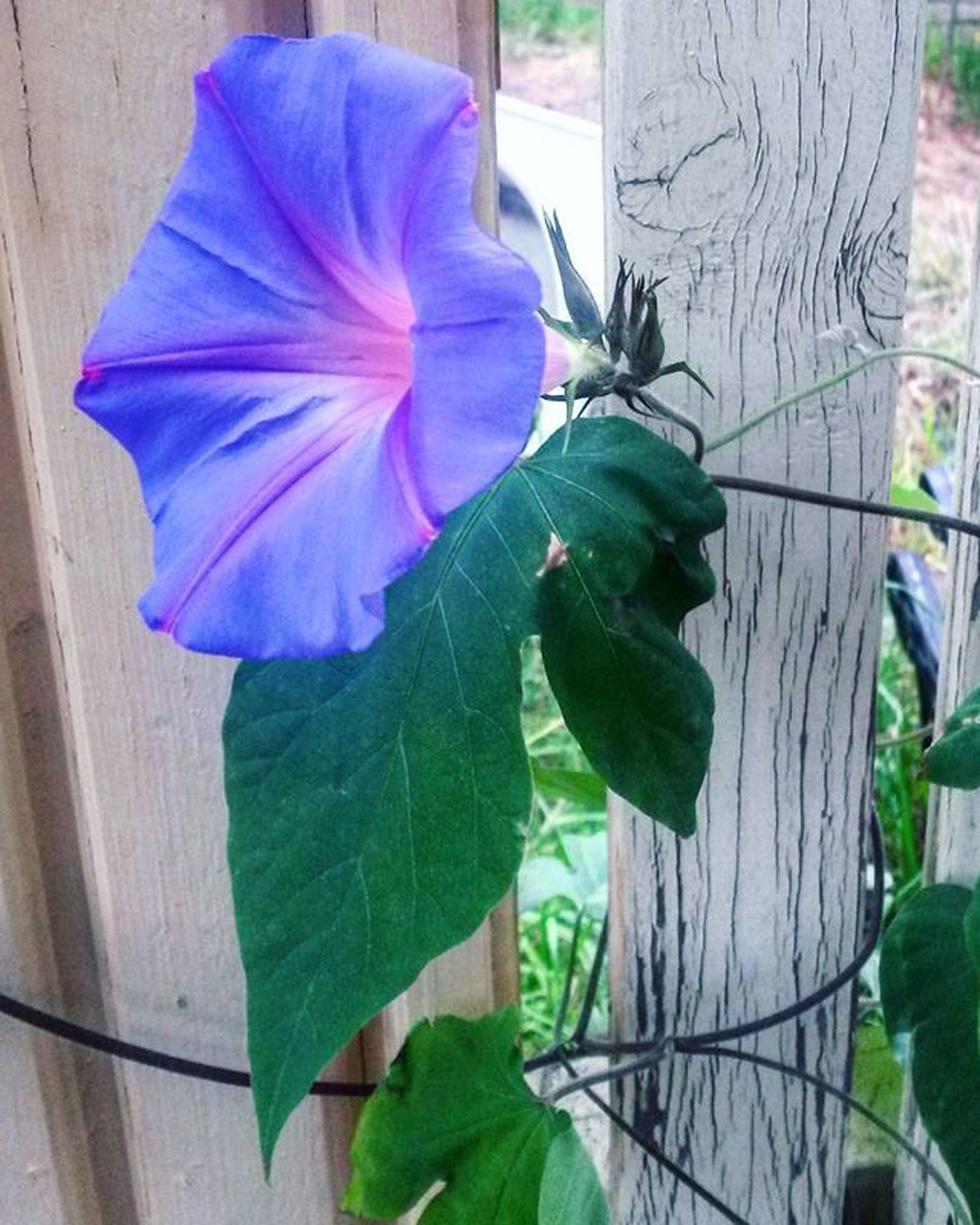 I spent the better part of my train ride wondering if this was a lily or morning glory. 😂😂 Oops Lilyormorningglory Dontknowmyflowers Everymorningyougreetme Flower Purple