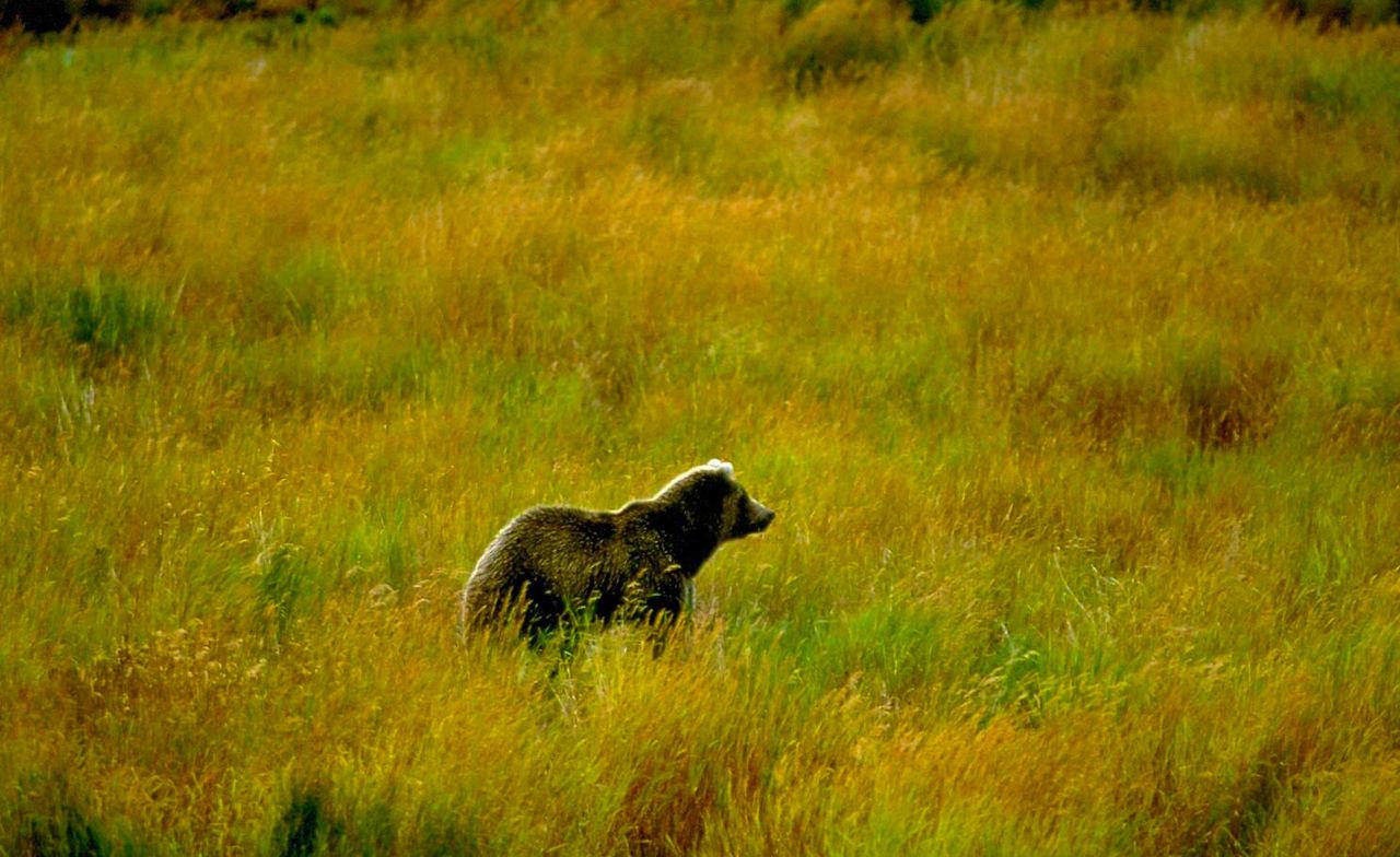 Bear On Grassy Field