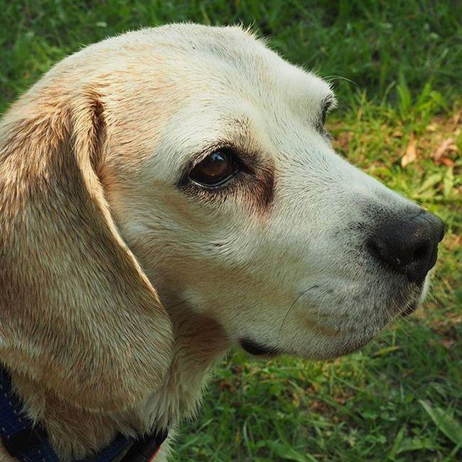 Kutya Dog Puppy Beagle Pracli Beagles