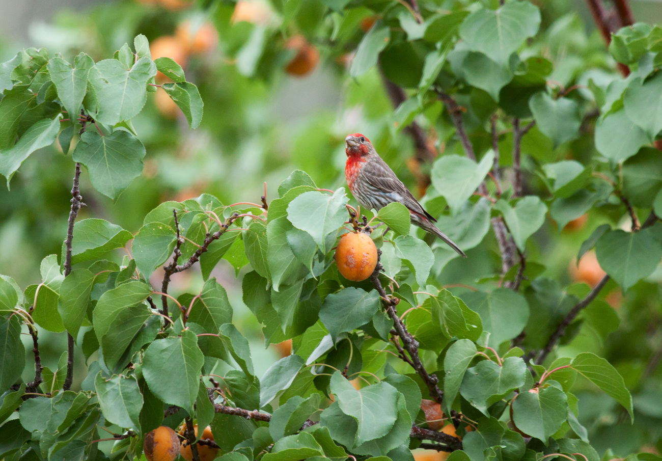 House finch raiding the apricot tree Nature Fruit Tree Leaf No People Outdoors Green Color Food Animal Themes Apricot Apricot Tree House Finch Finch Songbirds Tree One Animal Bird Wildlife Agriculture