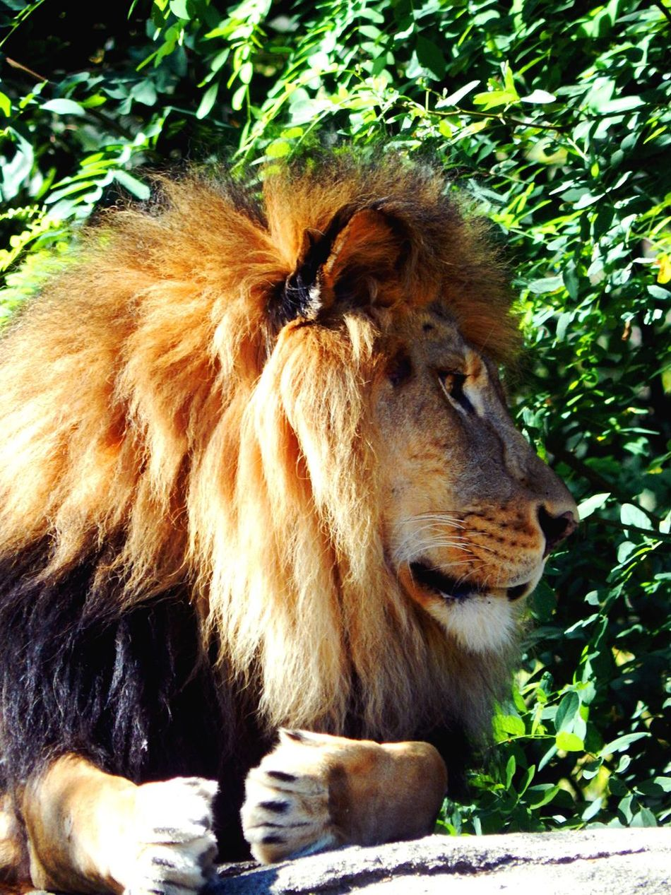Lion Animal Themes Mammal One Animal Animals In The Wild Outdoors No People Day Nature Feline Close-up Lion - Feline Mainephotography Big Cats Cat Pride King Africa Animals In The Wild Captive Animals Tranquility Africa Wildlife