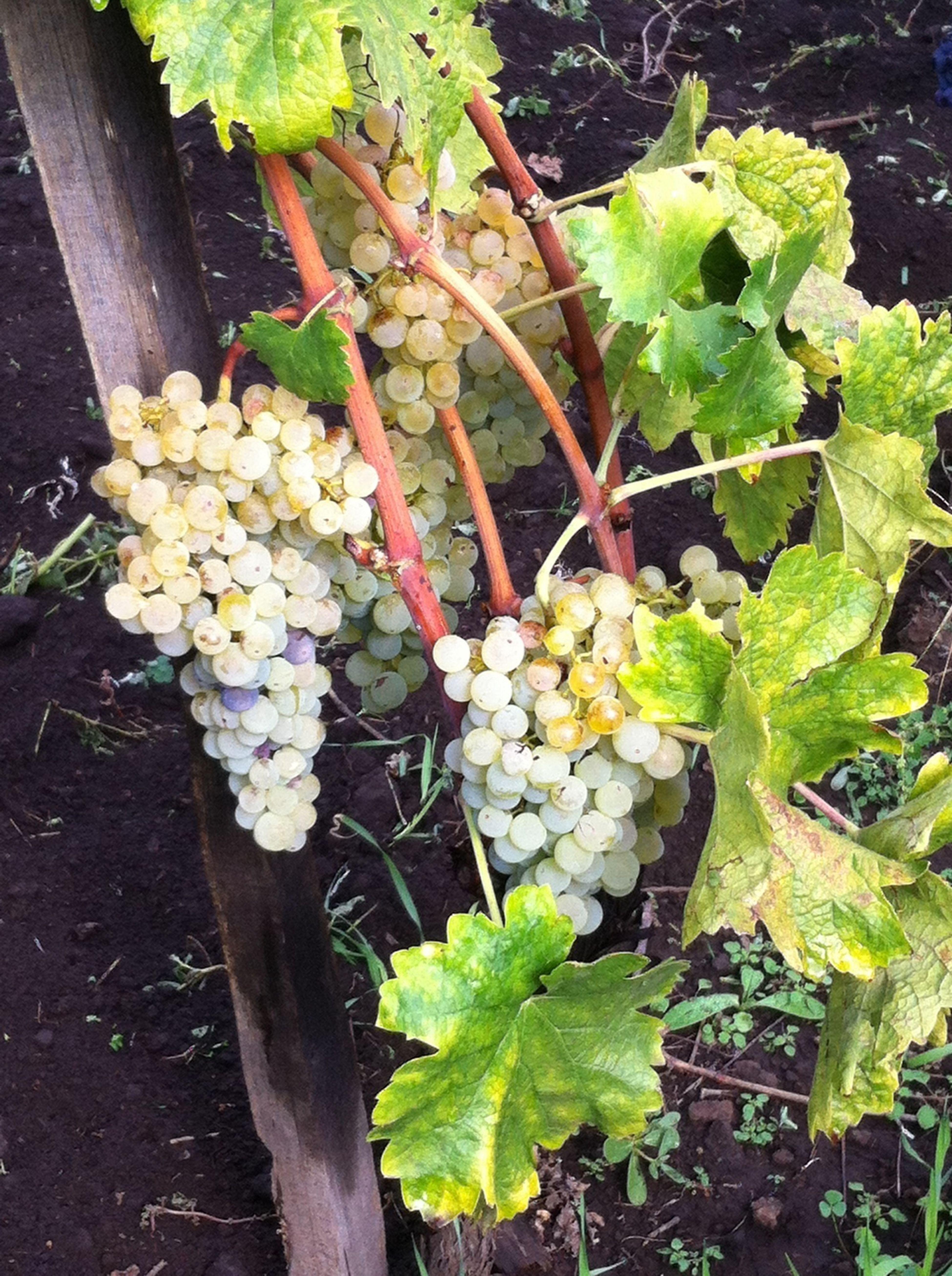 Wineyard Taking Photos Etna Sicily