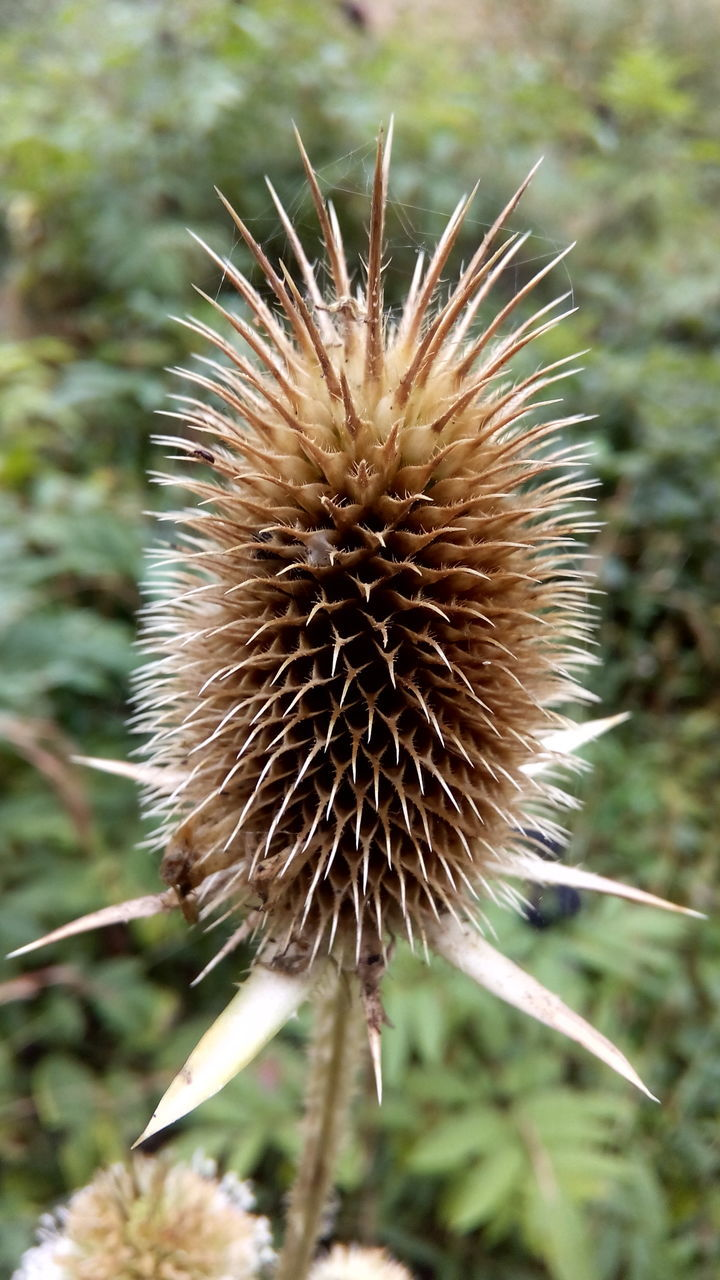 nature, growth, fragility, close-up, plant, focus on foreground, flower, outdoors, day, no people, freshness, beauty in nature, flower head, thistle