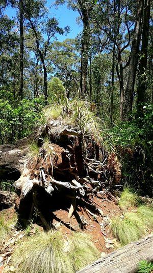 Australian Bushland Uprooted Mummel NP