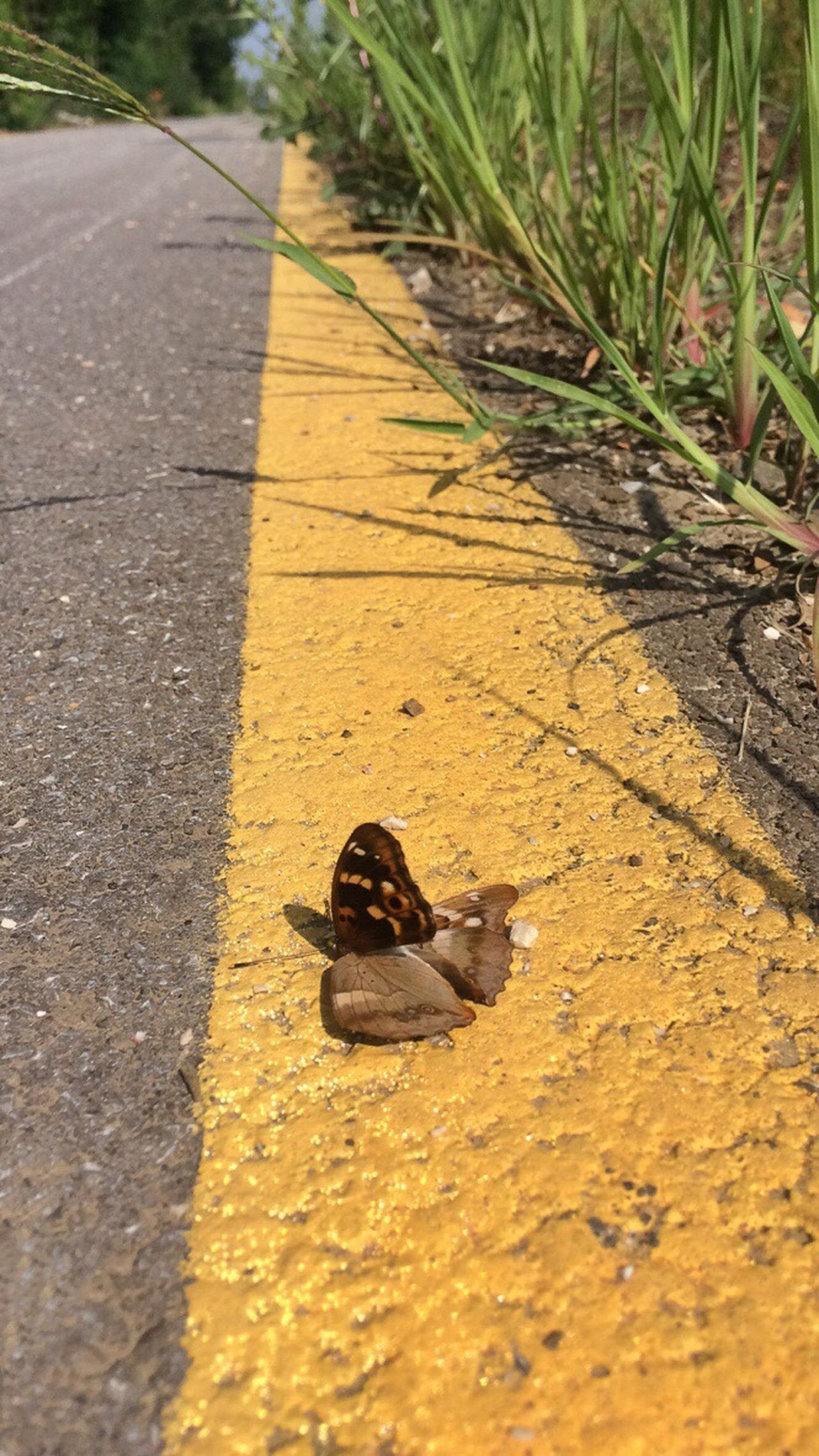 A rest on the yellow road... One Animal Outdoors Animal Themes Papillon Roadside Close-up Roadsidephotography Papillion