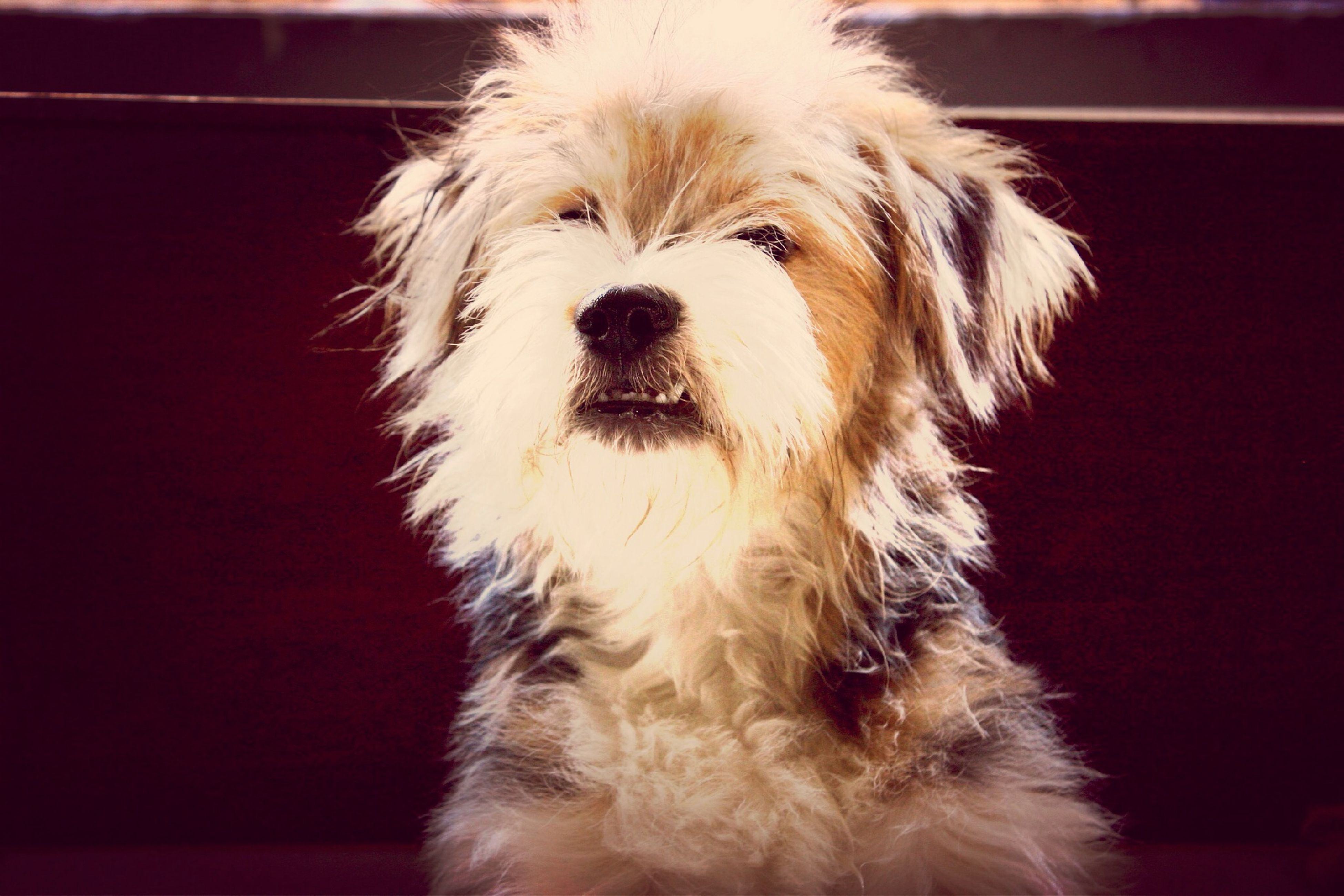 pets, dog, domestic animals, one animal, animal themes, mammal, indoors, close-up, animal head, portrait, animal hair, looking at camera, home interior, front view, focus on foreground, no people, cute, loyalty, home