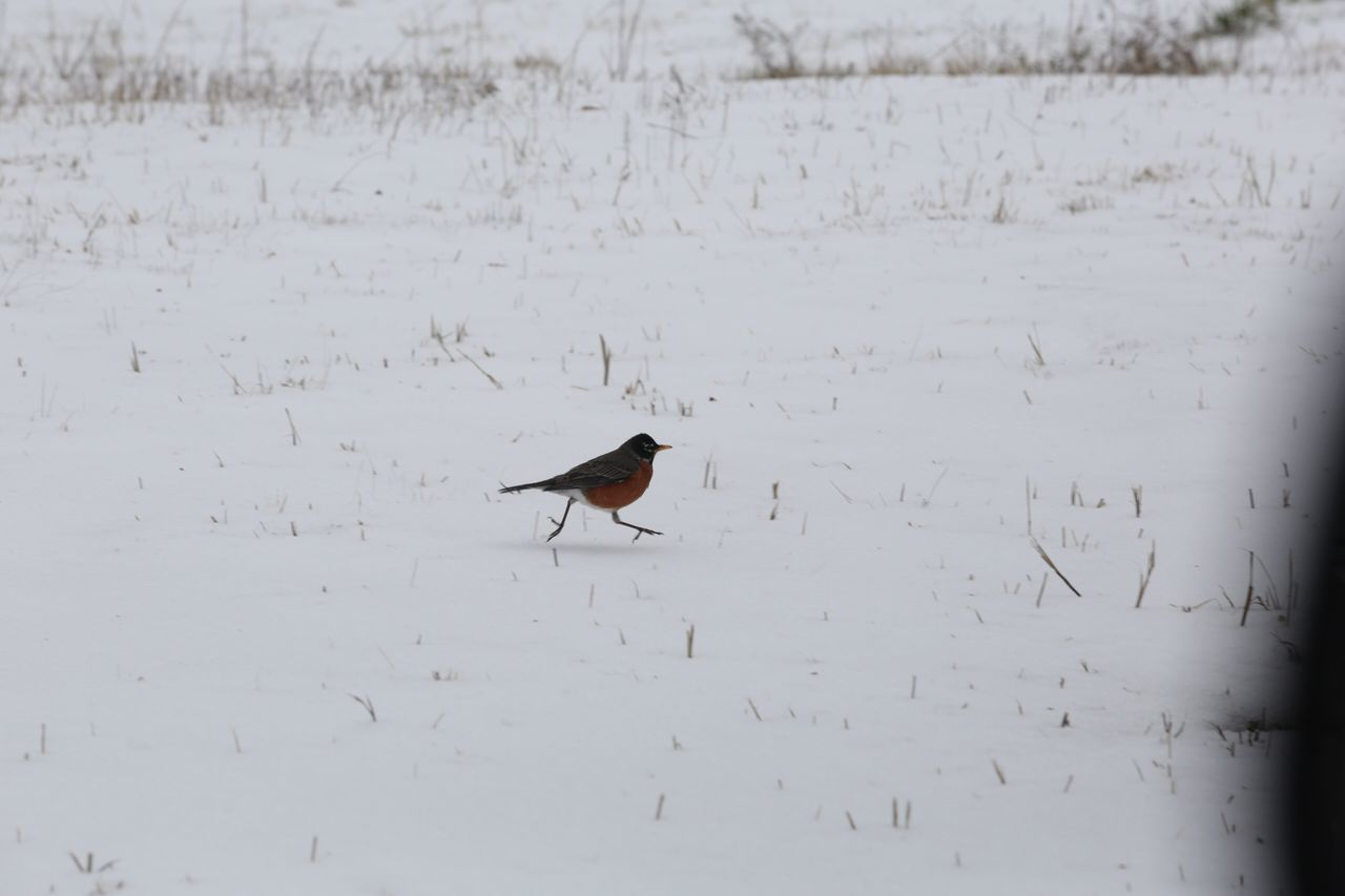 Snow Winter Animals In The Wild Animal Themes One Animal Cold Temperature Bird Nature Outdoors No People Animal Wildlife Field Day Mammal JGLowe Beauty In Nature Animals In The Wild Nature Winter