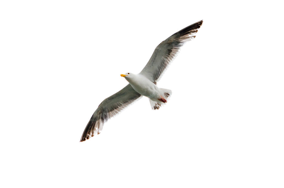 Flying seagull with wings spread open against a white background Air Animal Background Beak Bird Coast Flight Fly Flying Gull Isolated Larus Lincoln City Lincoln City, Oregon Nature One Oregon Seagull Soaring Up View White Wild Wildlife Wing