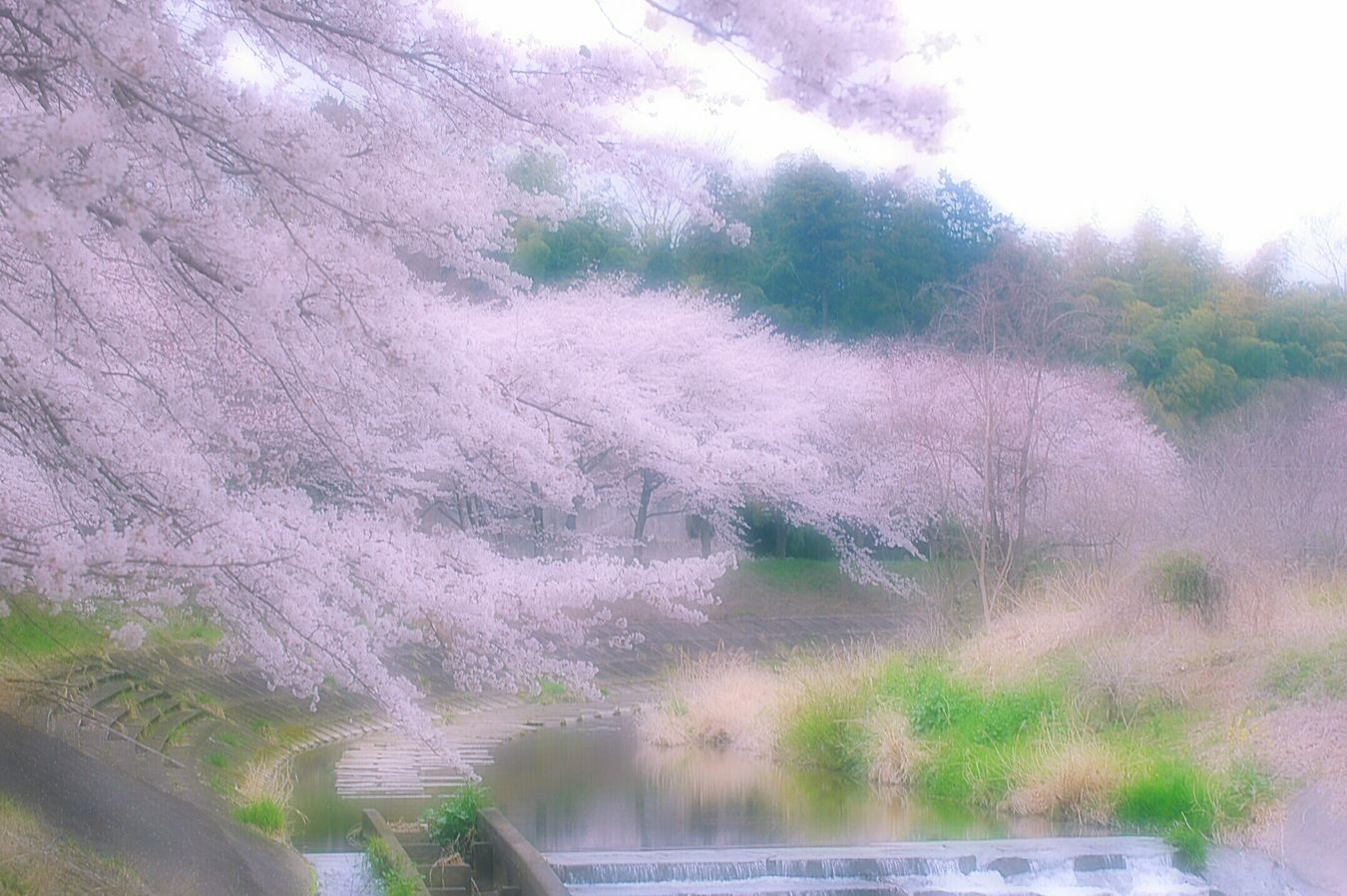 Relaxing Spring Colours Colors Spring 春 Hazy Days Dreamfantasy Airy Flowers Bokeh Cherry Blossoms Sakura 桜 Japan Pink Cloudy Spring Time