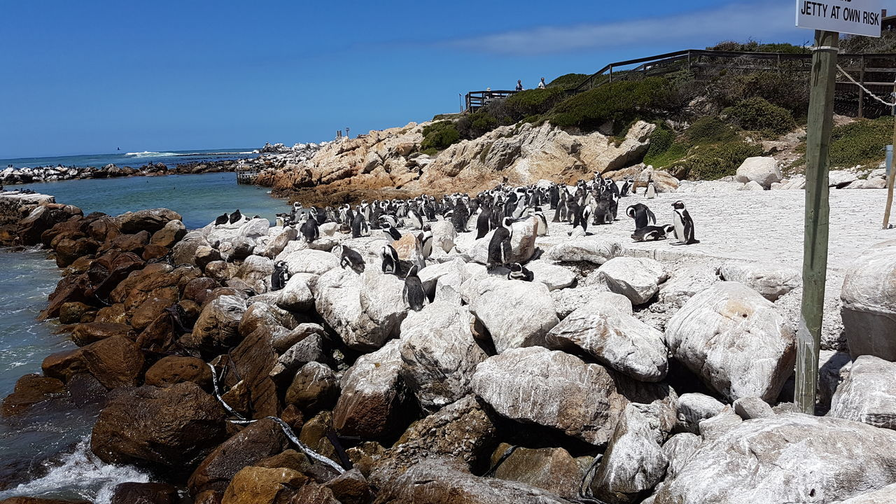 Large Group Of Animals Abundance Sea Beach Nature Animal Themes Day Outdoors Sky No People Beauty In Nature Sea Life Betty's Bay South Africa 🇿🇦 Beauty In Creation  Animals In The Wild Western Cape