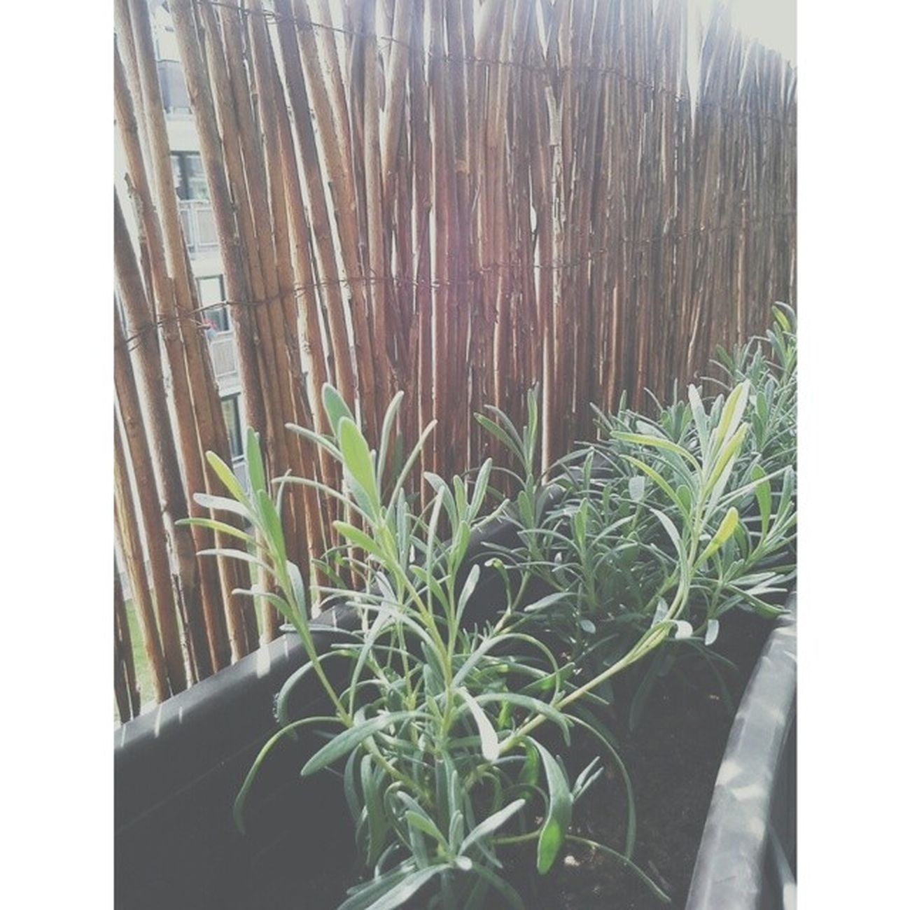 Jestem ogrodnikiem balkonowym, posadziłam chwasty :) Lawenda Lavender Kwiaty Balkon ogrodnikpięknylawendowyzapachajajaj