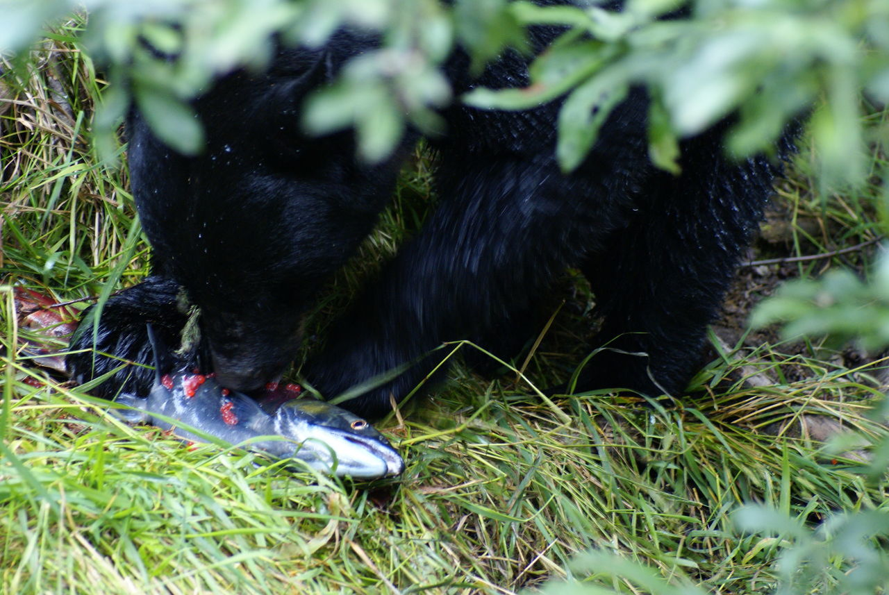 Alaska Animal Bear Bear Eating Bear Eating Salmon Juneau,AK Outdoors Salmon