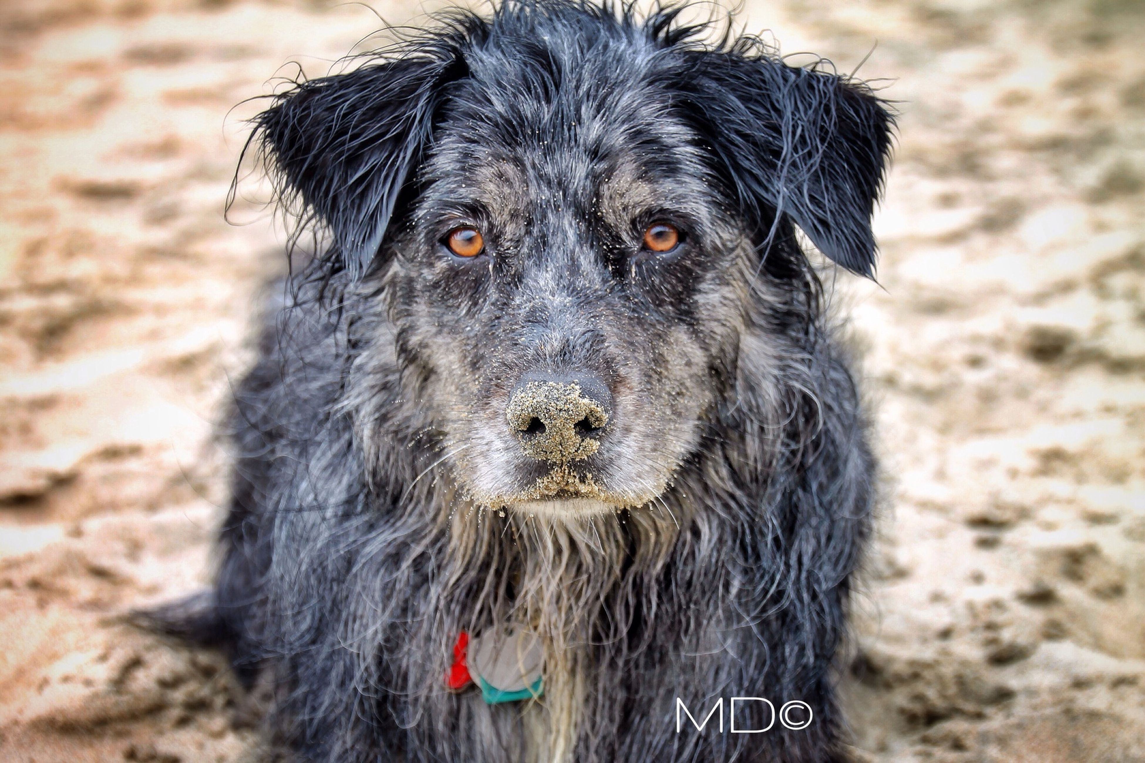 animal themes, one animal, domestic animals, mammal, dog, pets, focus on foreground, portrait, looking at camera, close-up, animal hair, black color, animal head, wildlife, zoology, no people, animals in the wild, field, red, outdoors
