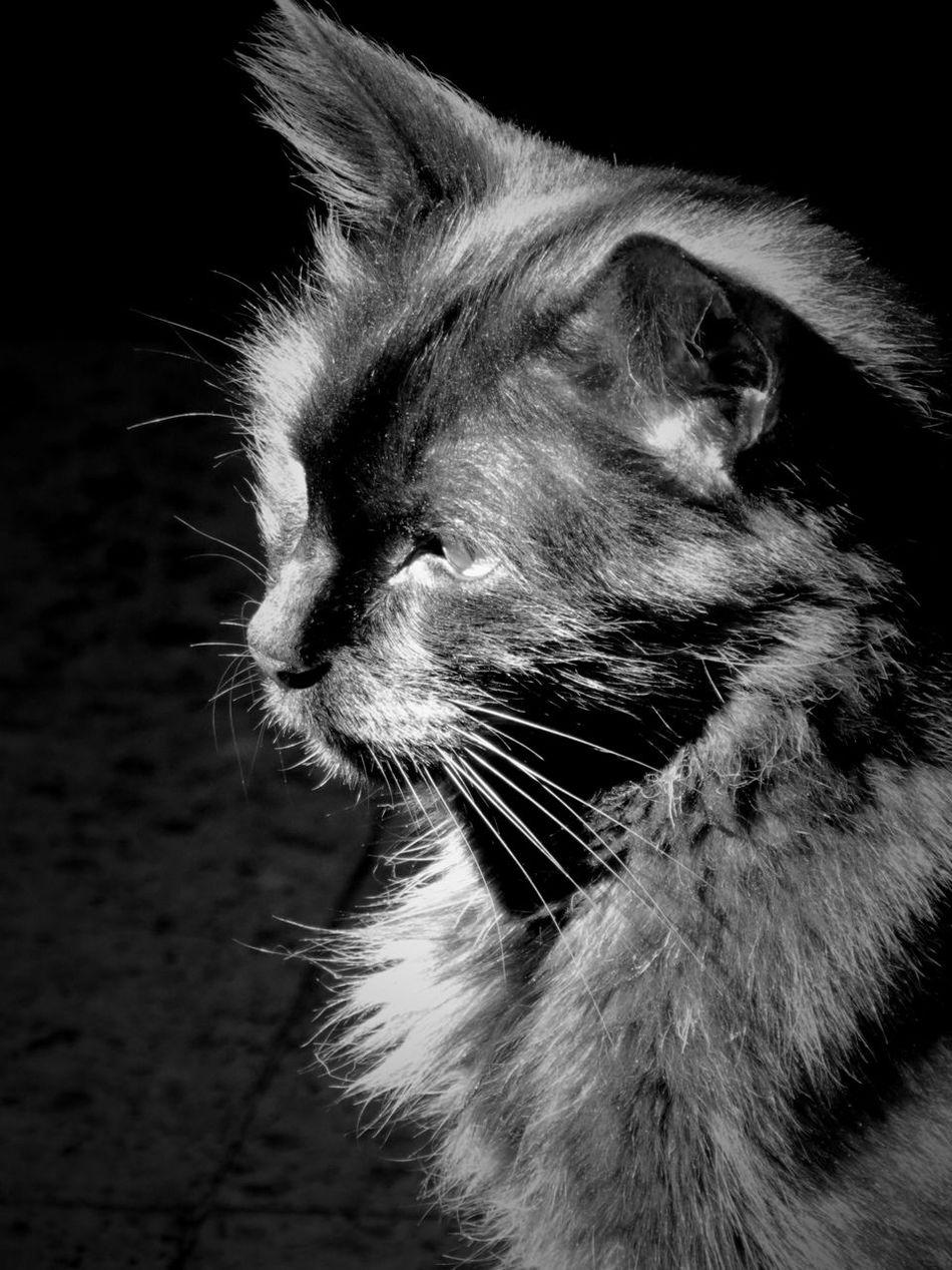 Animal Head  Animal Themes Cat Close-up Domestic Animals Domestic Cat Feline Indoors  Mammal No People One Animal Osiris Pets Whisker