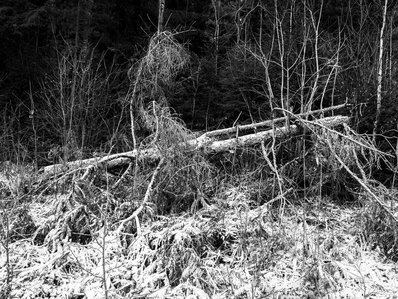 Fallen tree in the forrest, with the second frost in the Autumn. Beauty In Nature Black & White Blackandwhite Close-up Day Fallen Tree First Frost Frost Frosty Autumn Morning Frosty Leaves Frosty Morning Nature No People Norway Outdoors Scandinavia Tree