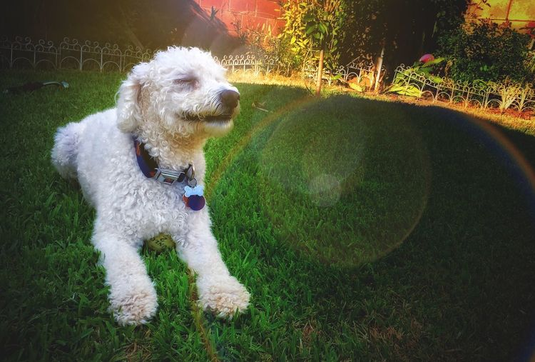Dogs MrPinky Pups IPhoneography Summer Dogs Chilin IPhone Poodle Smile Breath #Relax Pet Portraits