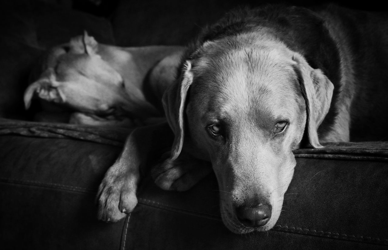 dog, pets, domestic animals, animal themes, mammal, relaxation, one animal, resting, indoors, lying down, no people, weimaraner, close-up, day