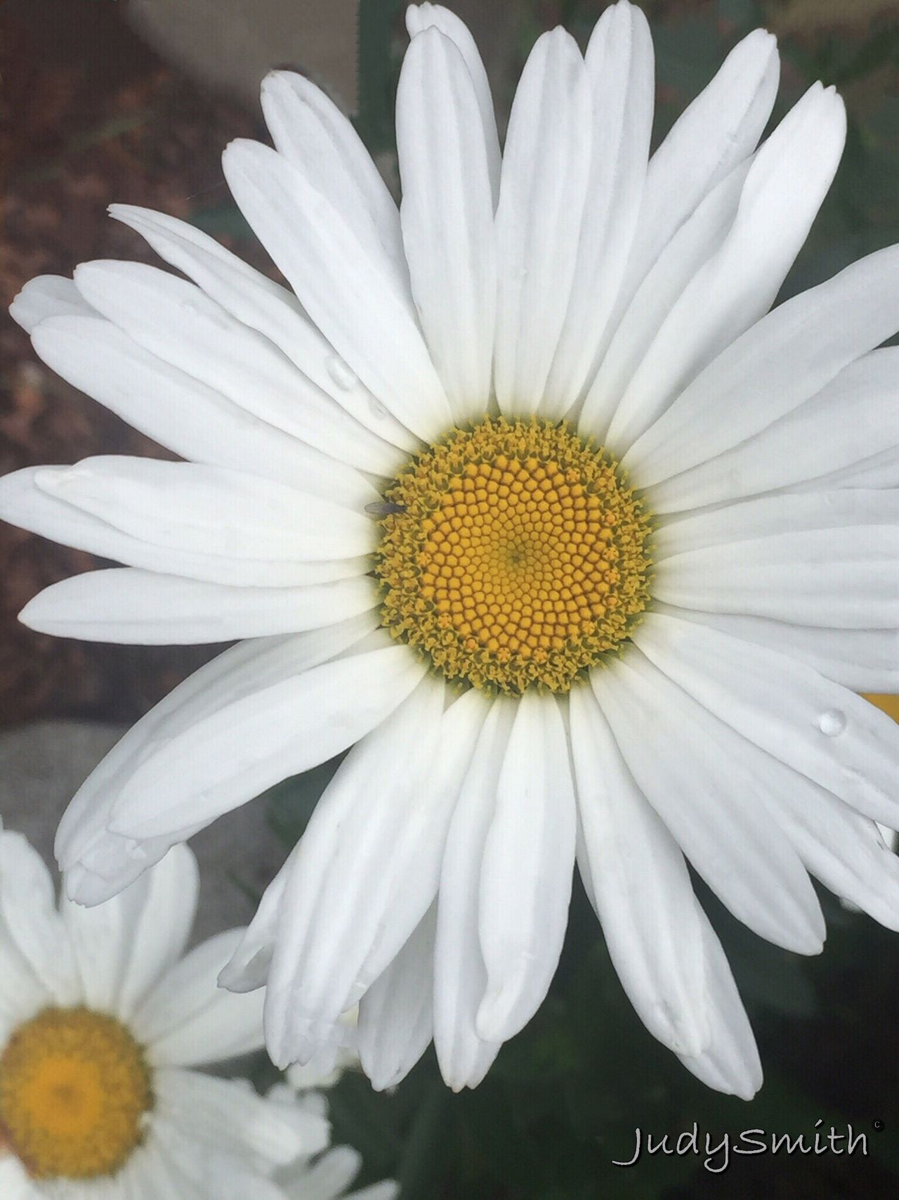 Can't stop taking photos of daisies! Taking Photos Iphonephotography Eye4photography  Nature's Best Garden Photography Flowers,Plants & Garden Macro Photography Beautifulflowerseveryday