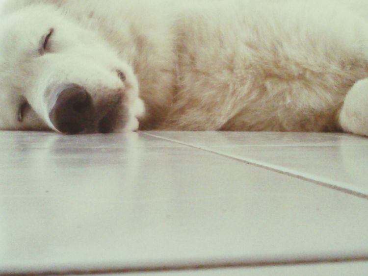 thor!!!! so cute my baby!!!! Thor  Sleeping Berger Blanc Suisse Dog