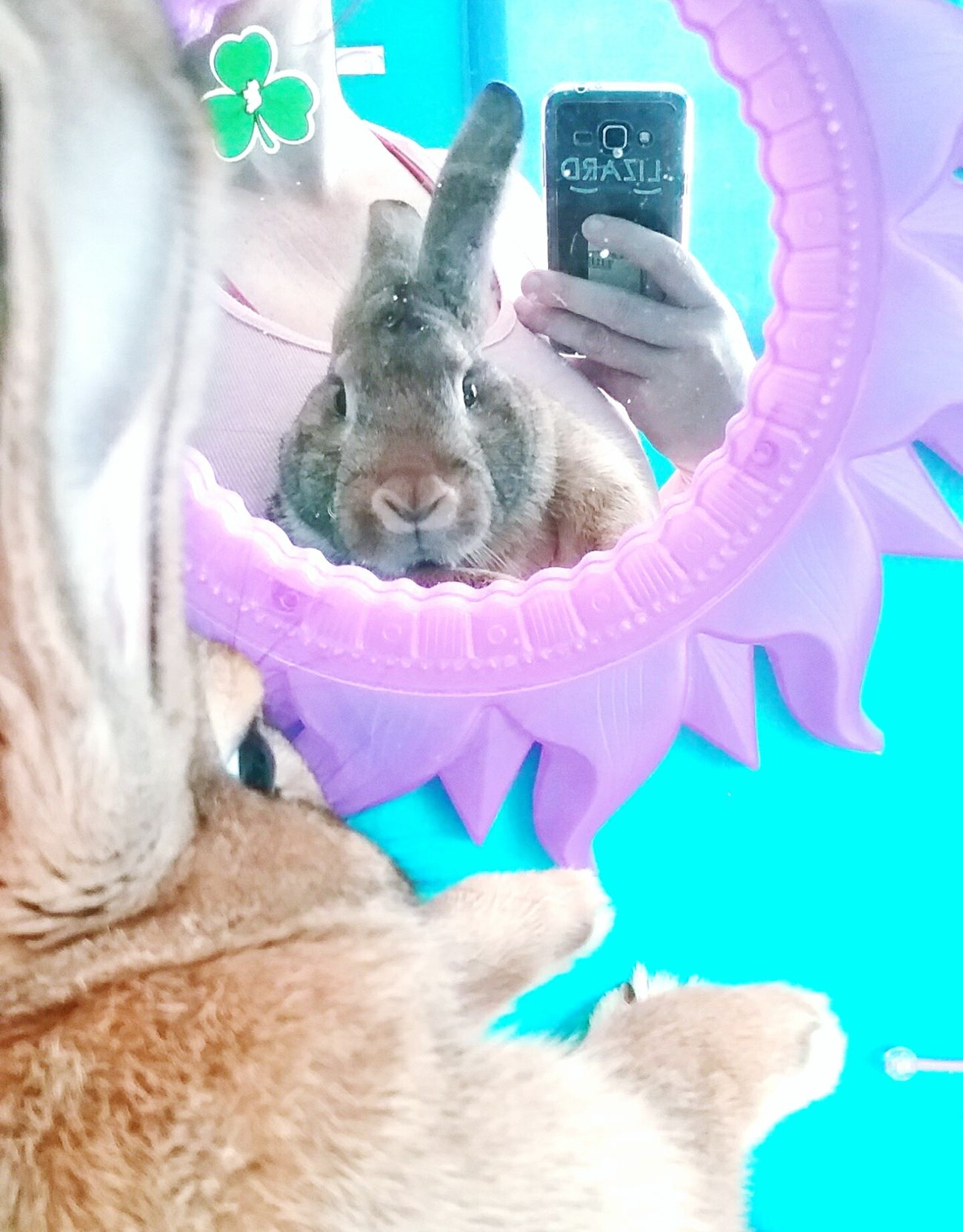 Pistol 6 months old😍🐇💚✊ Rabbits 🐇 Flemish Giant Rabbit ❤️ I Love My Rabbit 🐰💕