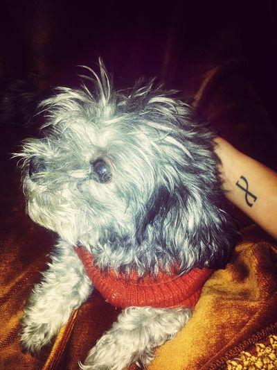 boli Pets Dog Taking Photos Tattoo