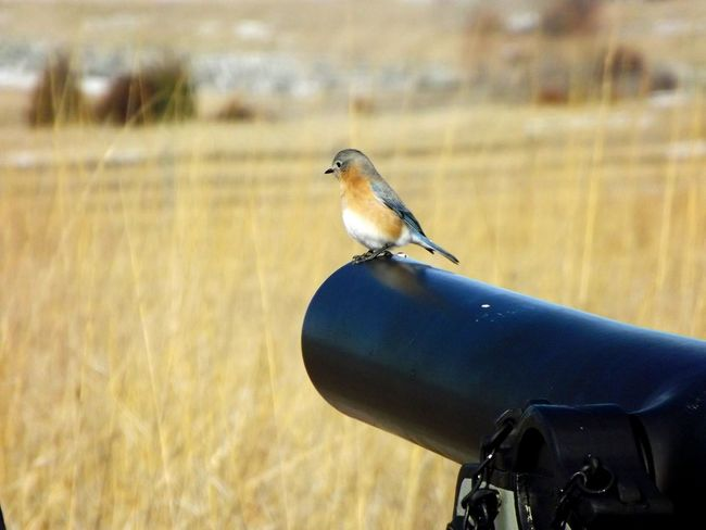 Bird On Canon Wildlife Photography Wildlife Gettysburg,pa Gettysburg Pennsylvania Pennsylvania Beauty 3 Inch Rifled Canon