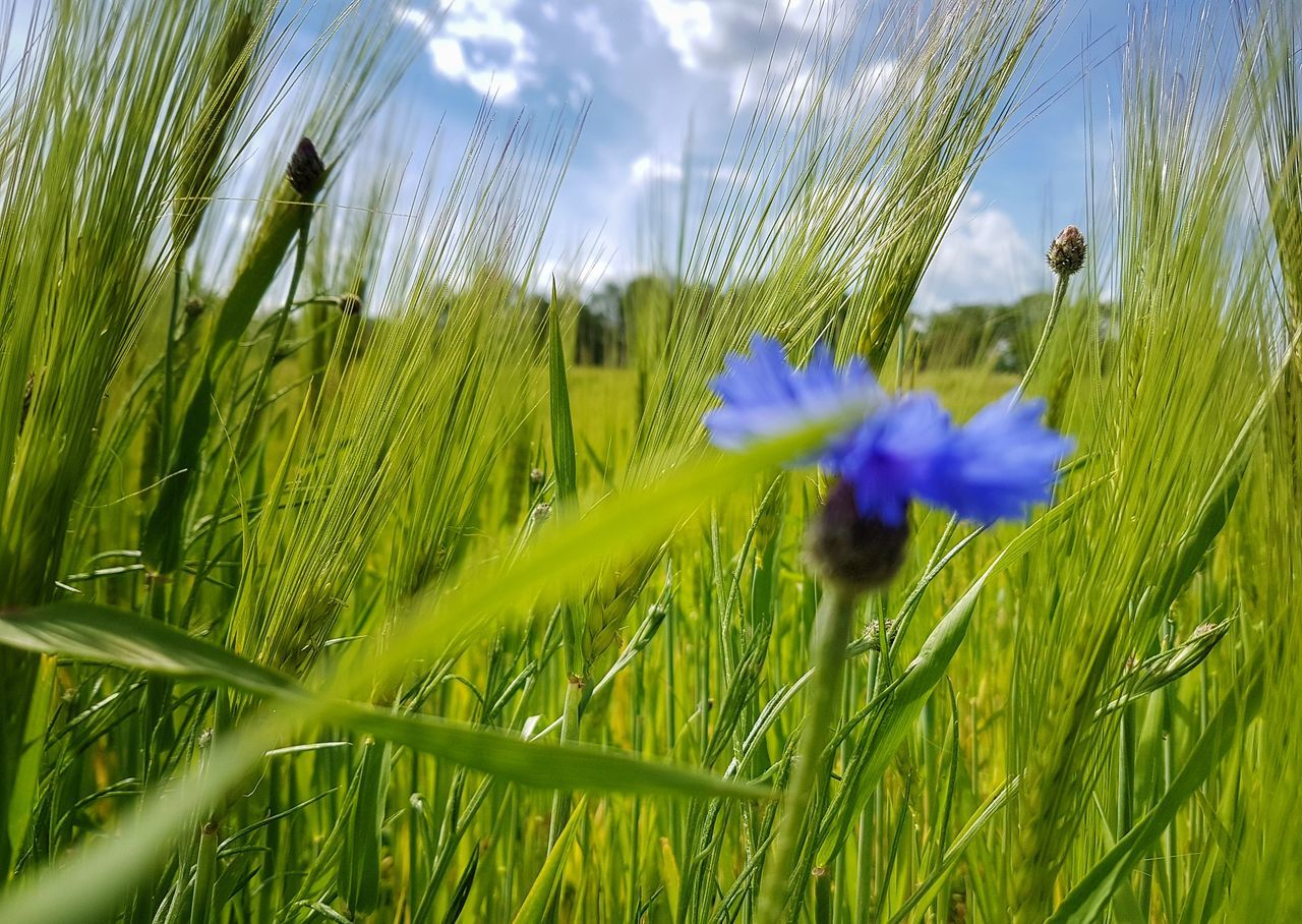 Flower Growth Fragility Grass Freshness Plant Green Color No People Beauty In Nature Nature Flower Head Lights And Shadows Landscape Landscape_photography The Great Outdoors - 2017 EyeEm Awards Landscape_Collection My Point Of View Agriculture Field Taking Photos Green Color Beauty In Nature Scenics