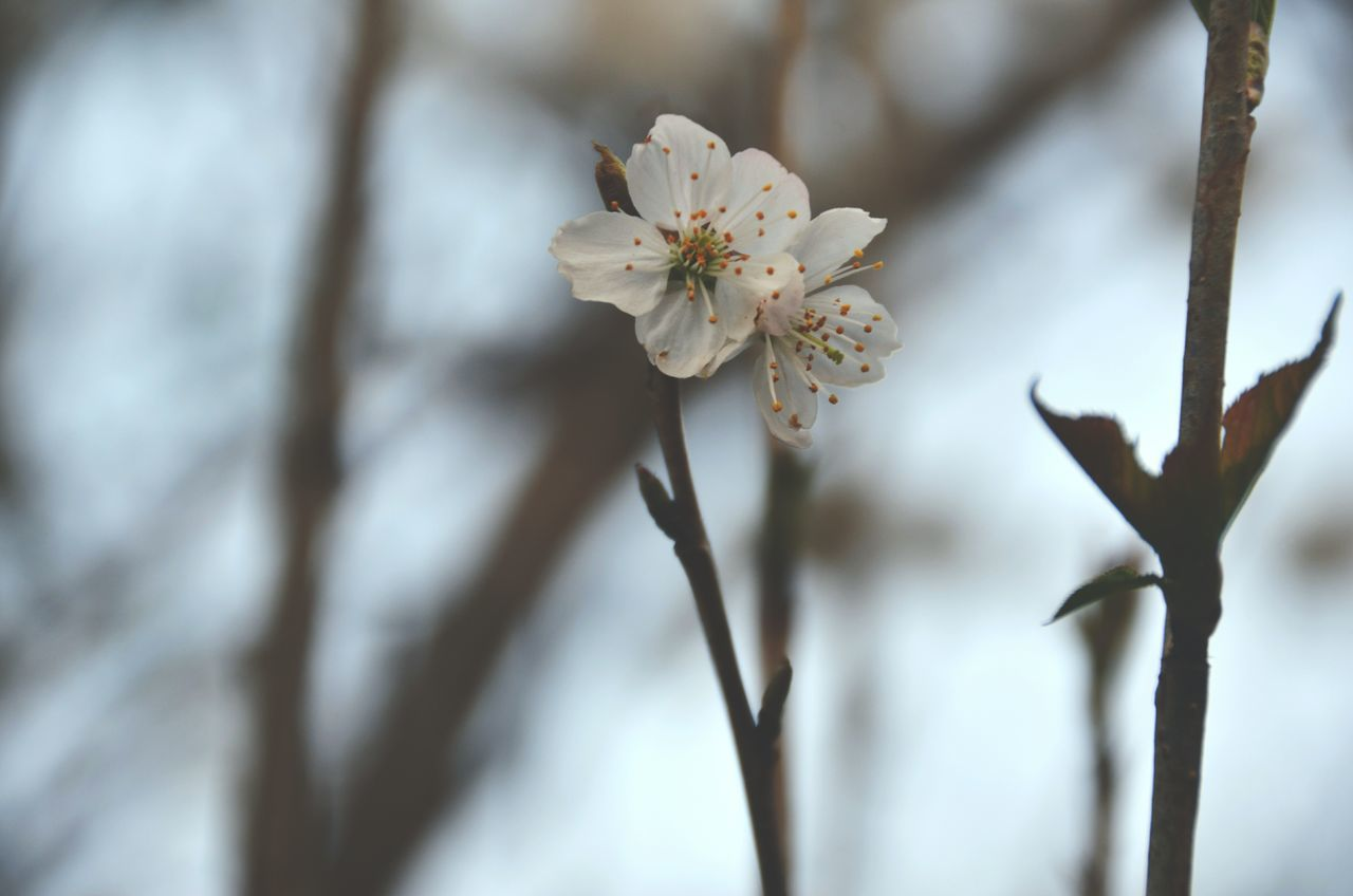 flower, beauty in nature, white color, fragility, nature, blossom, branch, tree, freshness, flower head, twig, springtime, growth, no people, apple blossom, focus on foreground, day, close-up, plum blossom, petal, outdoors