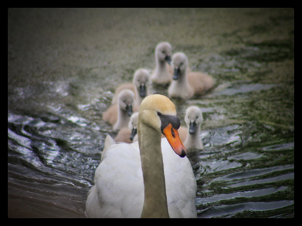 Lagan Canal Moira Swans Signets Our Best Pics EyeEm Nature Lover EyeEm Gallery Natures Magic The Great Outdoors - 2016 EyeEm Awards Exceptional Photographs The Essence Of Summer EyeEm Best Shots - Nature EyeEm Best Shots Baby Swans Waterfowl EyeEm Birds Springtime Family Of Swans Spring Birds EyeEm Animal Lover Cute Animals Proud Mother Northern Ireland Showcase June