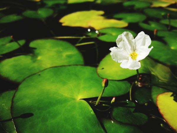 Green Color Close-up Plant Water Lily Growth Day Flower Collection Lotus Flower Lotus Graceful Jusmin Lotus Mini Lotus EyeEmNewHere The Secret Spaces