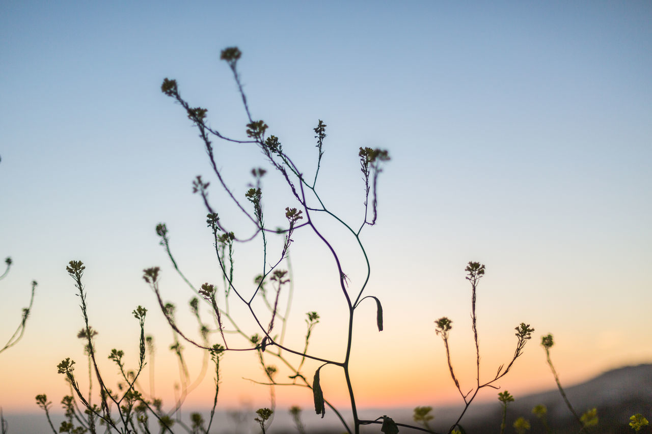 Black Mustard at twilight Beauty In Nature Black Mustard Clear Sky Focus On Foreground Getting Dark Hills Hillside Nature No People Ocean View Orange Glow Orange Glow In The Sky Outdoors Pink Glow In The Sky Plant Shallow Depth Of Field Silhouette Sky Sunset Tranquility