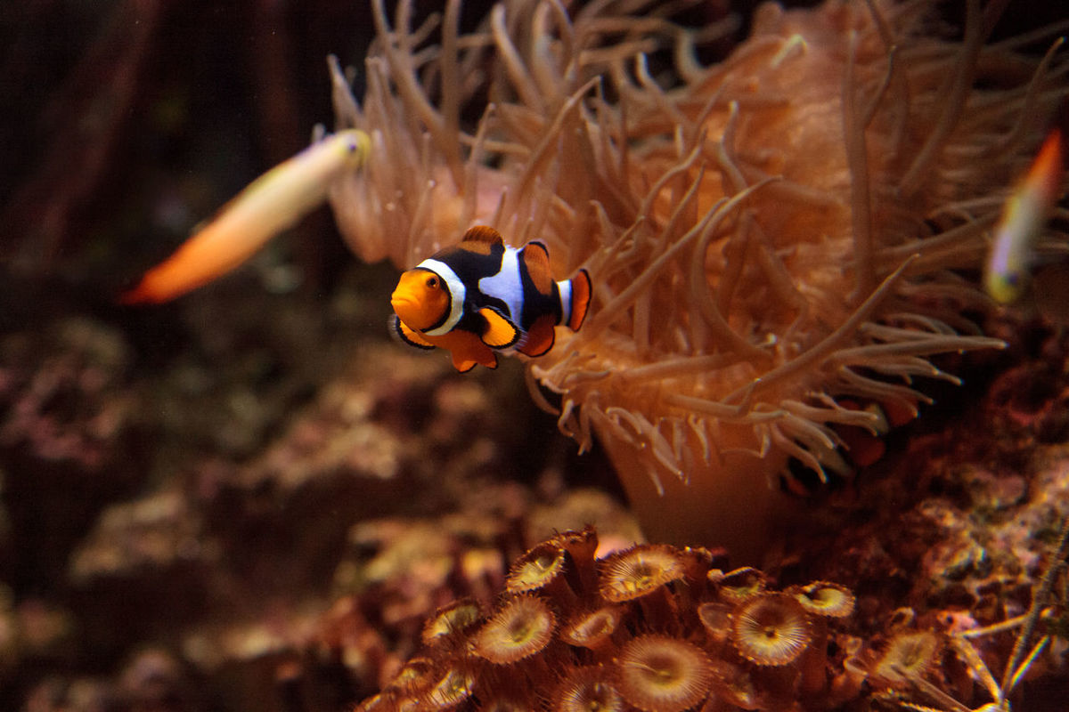Clownfish, Amphiprioninae, in a marine fish and reef aquarium, staying close to its host anemone Amphiprioninae Anemone Animal Themes Clownfish Coral Reef Day Diving Fish Marine Marine Fish Marinefish Nature No People Ocean Sea Swim