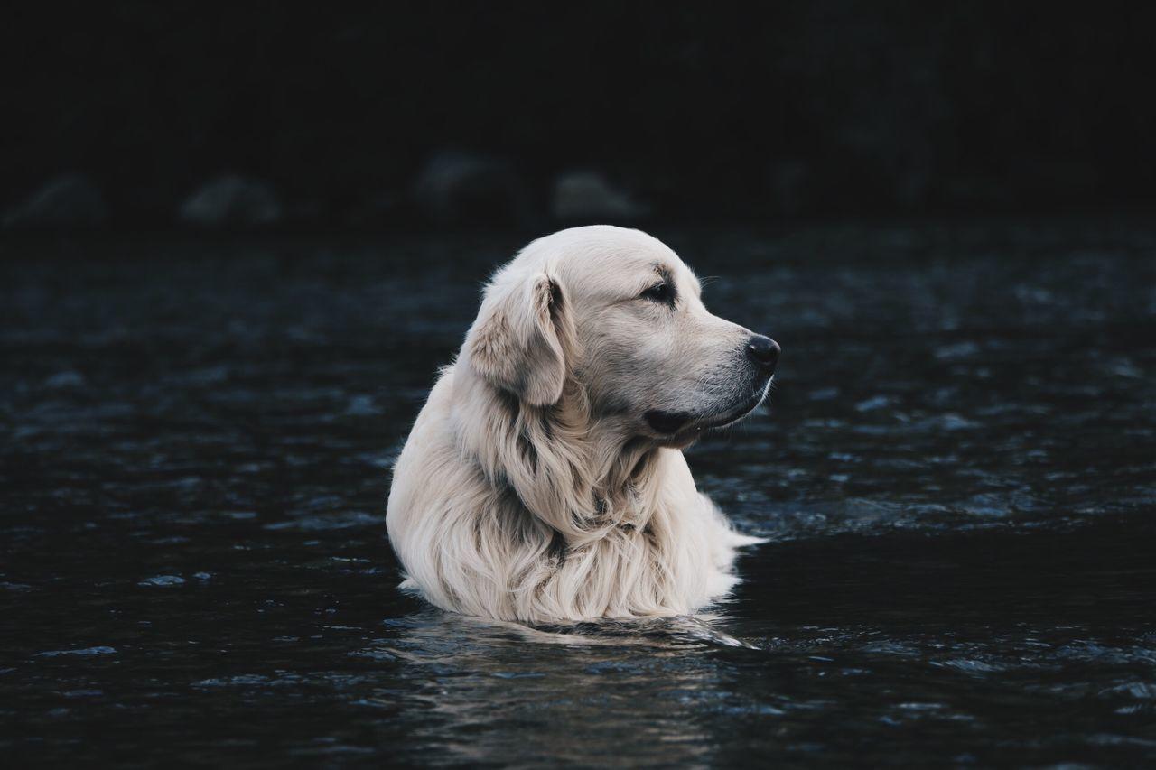 Beautiful stock photos of golden retrievers, Animal Head, Animal Themes, Day, Dog