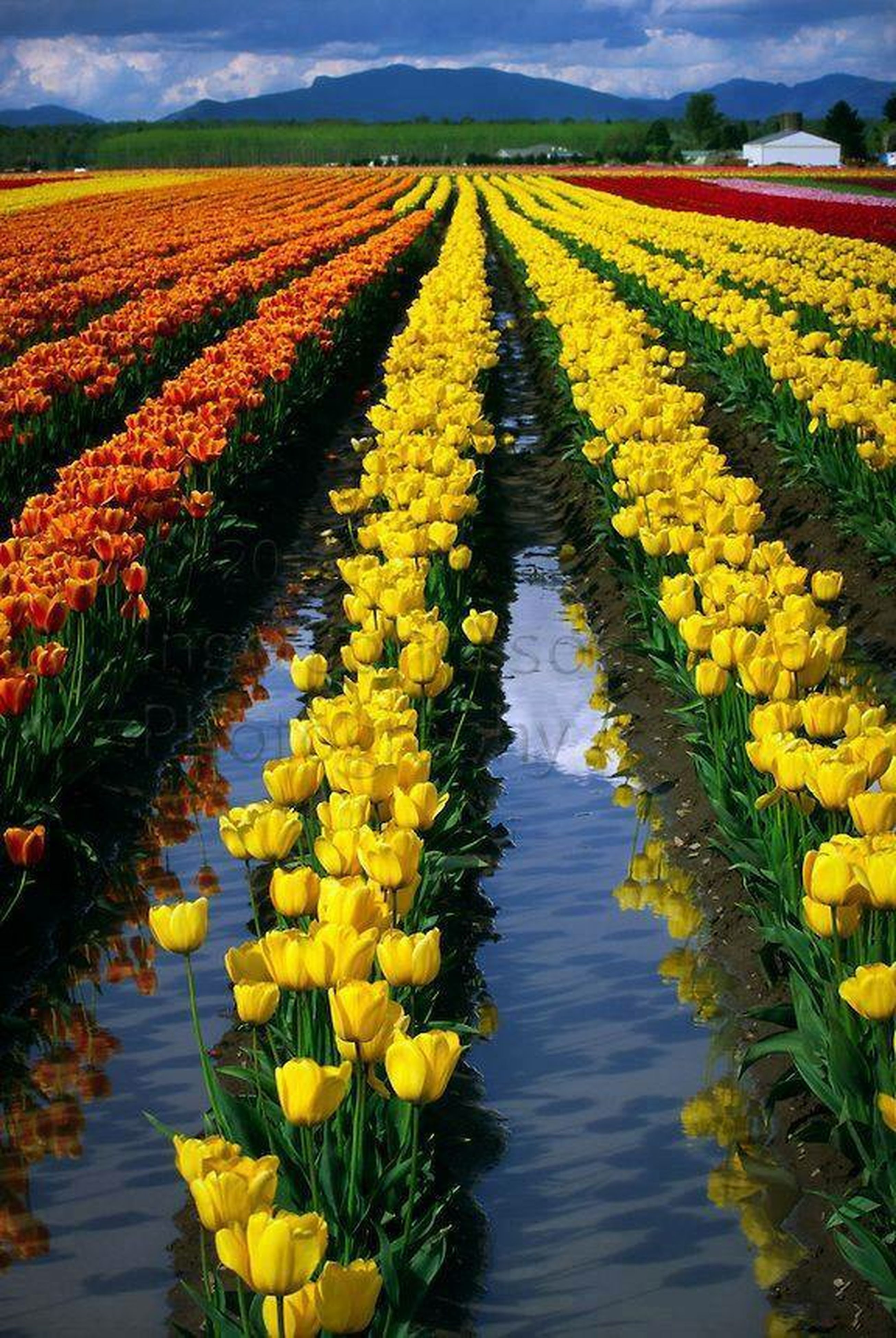 water, yellow, flower, beauty in nature, growth, rural scene, nature, diminishing perspective, the way forward, agriculture, tranquil scene, tranquility, sky, freshness, scenics, field, plant, vanishing point, transportation, lake
