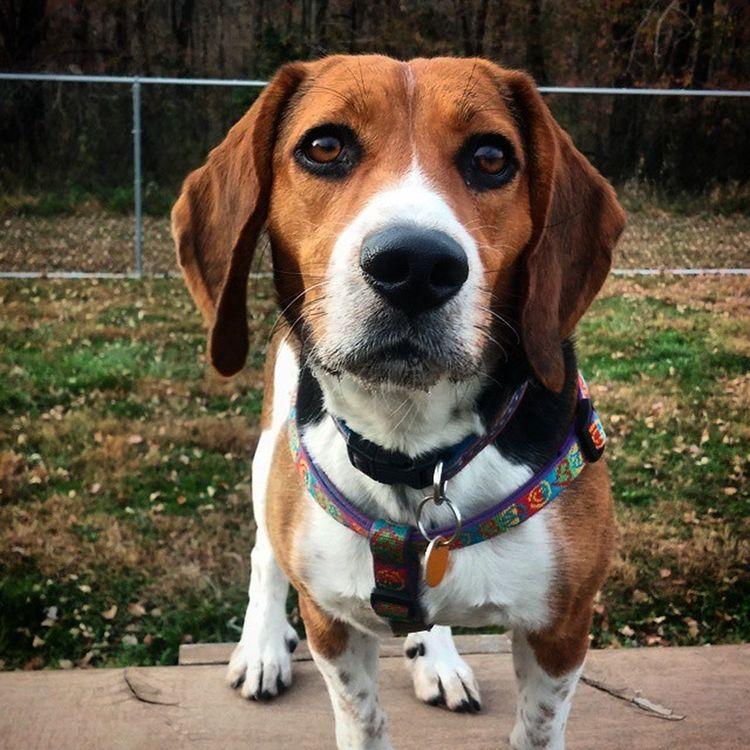 Oooh that face!!! Beagle Beaglesalwayslooksad PuppyFace Pup Puppy Dog Perkasiedogpark