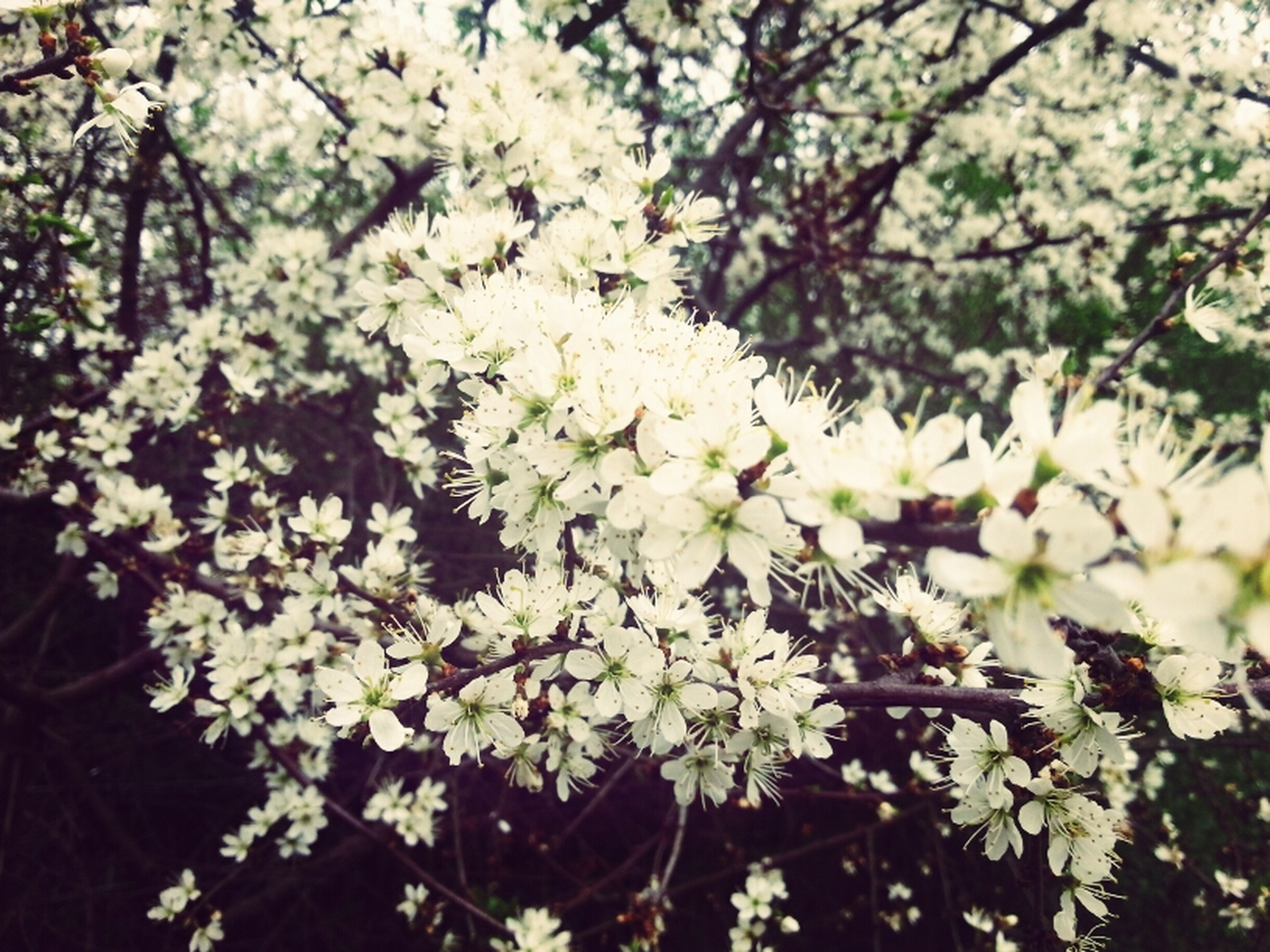 flower, growth, branch, tree, freshness, white color, beauty in nature, nature, fragility, blossom, cherry blossom, blooming, low angle view, leaf, twig, focus on foreground, cherry tree, petal, in bloom, close-up