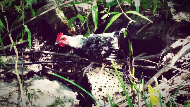 Pet Photography  Country Girl Family❤ Country Life Chicken - Bird Chickens >.< Pet Chickens My Pet Chickens Chicken. Countrylife Outside Outdoor Photography Rooster