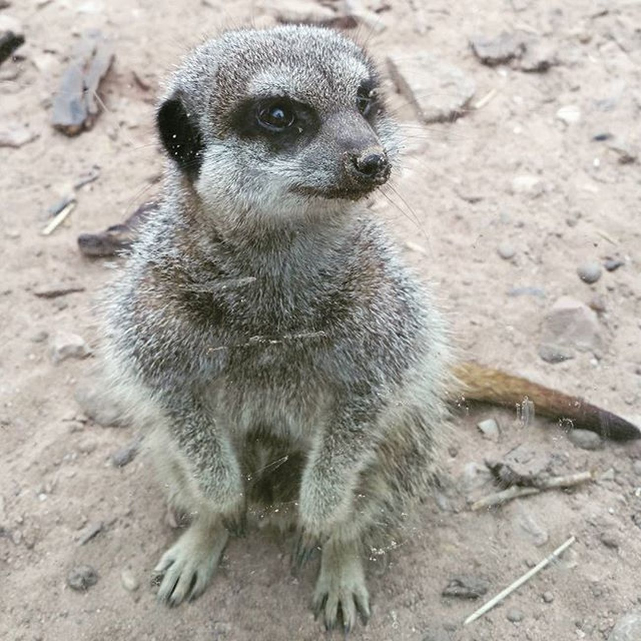 Twycrosszoo Twycross Zoo Meerkat Shimples Closeup