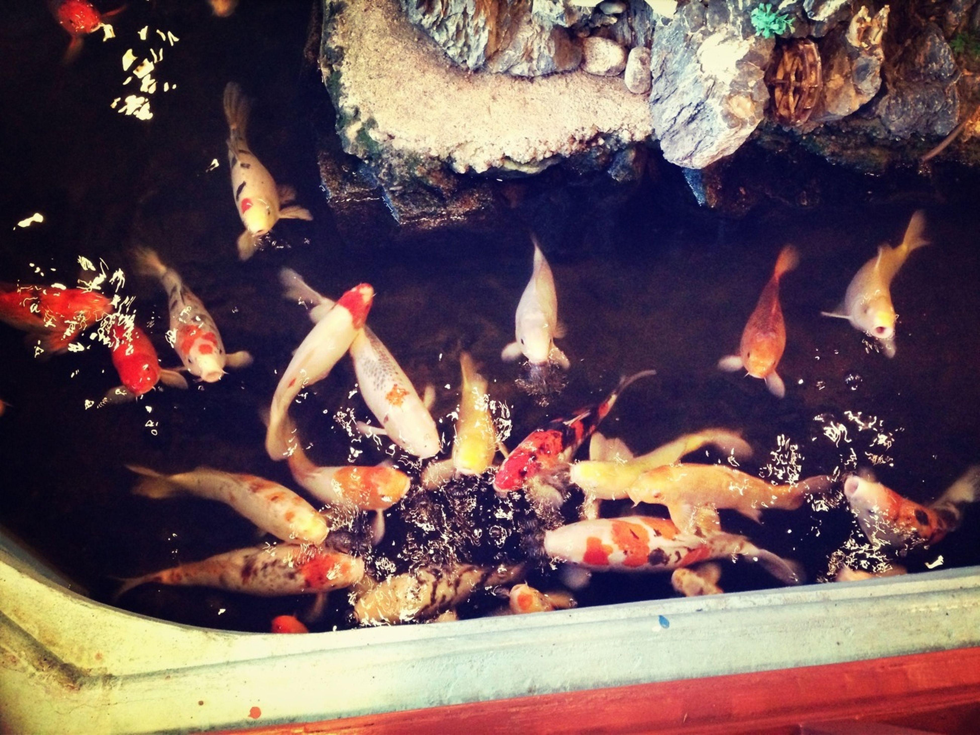 animal themes, fish, animals in the wild, wildlife, water, high angle view, sea life, swimming, medium group of animals, indoors, underwater, seafood, koi carp, animals in captivity, pond, nature, four animals, bird