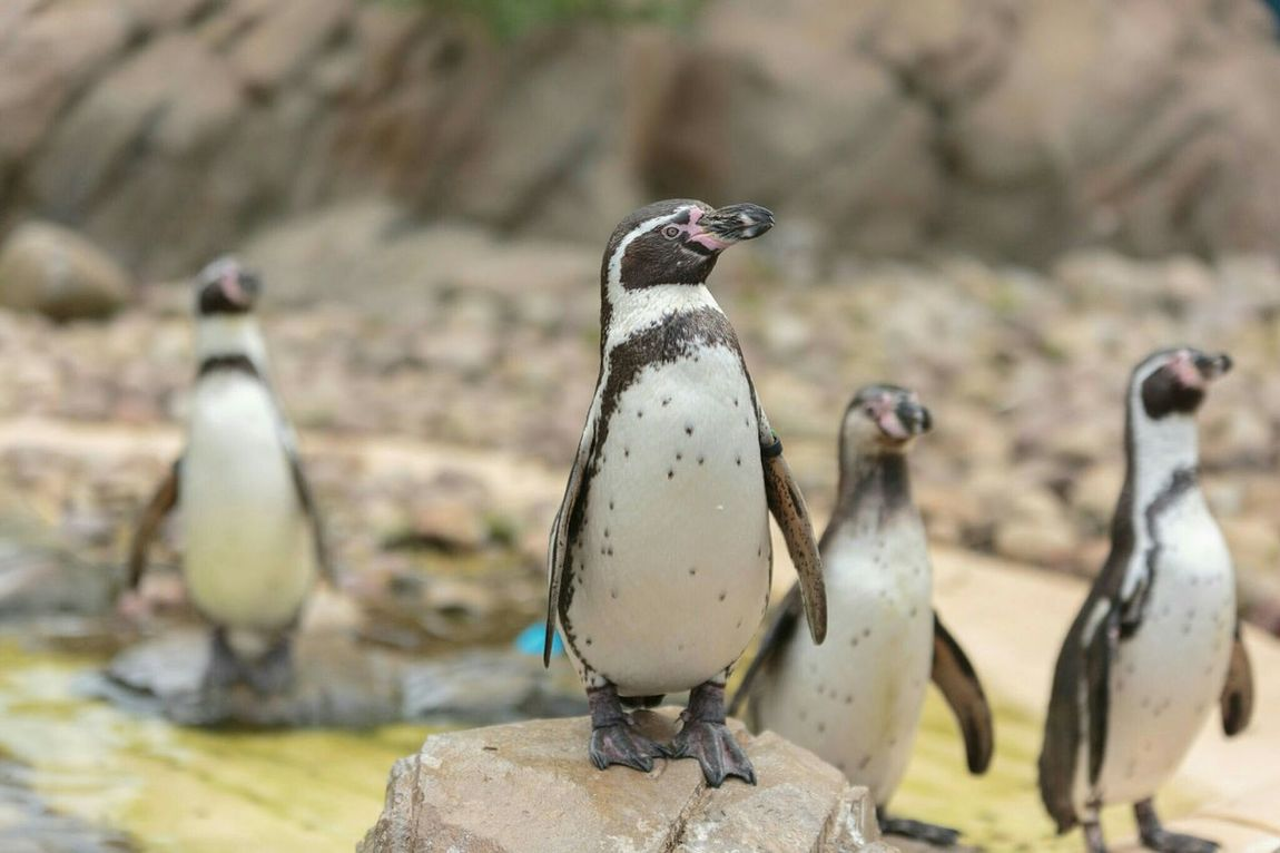Penguins Zoo Animals  Twycross Photographer For Hire Lightroom Cc Sigma 70-200mm Canon 5d Mark Lll Professional Photographer Lightroom Mobile Natural Light