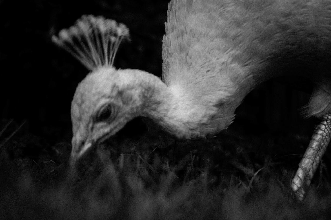 Animal Themes Animal Wildlife Beak Bird Black & White Close-up Nature No People One Animal Outdoors