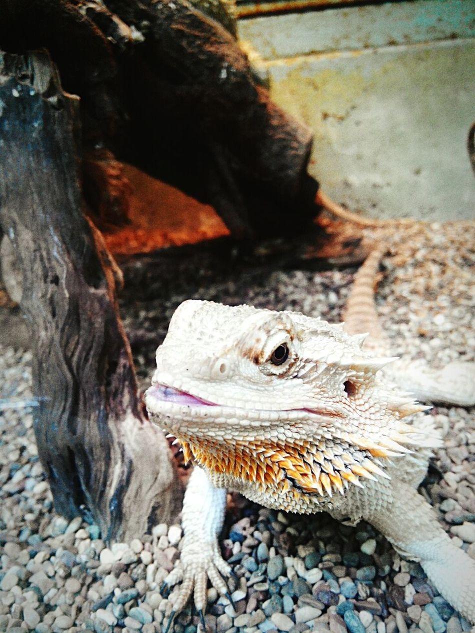 """reptile"" Andrography Kamerahp Kameraponsel LenovoS920 Animal Zoo Gembiraloka"