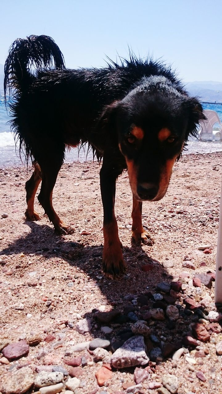 domestic animals, mammal, animal themes, dog, pets, day, one animal, sunlight, no people, outdoors, sand, shadow, beach, full length, sky, nature, clear sky, close-up