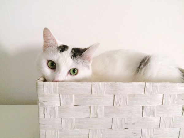 EyeEm Selects Basket Pets Domestic Cat Domestic Animals Animal Themes One Animal Looking At Camera Mammal Feline White Color Portrait Indoors  No People Kitten Day Close-up