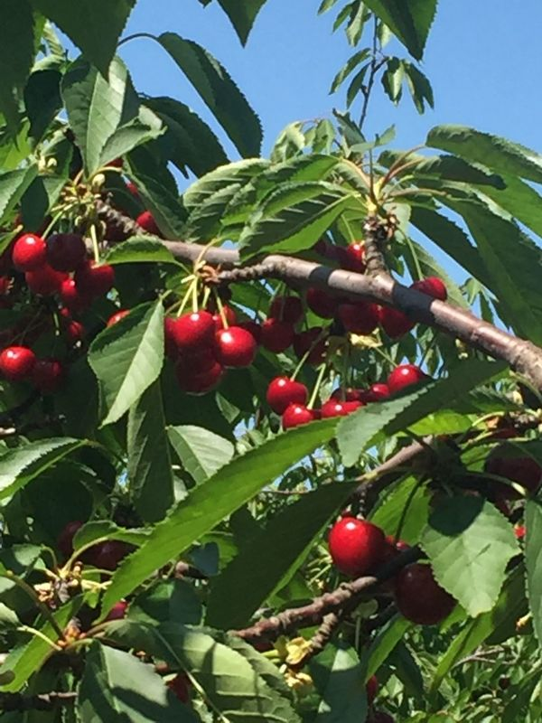 Cherries Cherries Fruit Food And Drink Leaf Agriculture Tree Growth Food Healthy Eating Green Color No People Red Sweet Food Outdoors Healthy Lifestyle Nature Freshness Plant Branch Day Food Staple Water