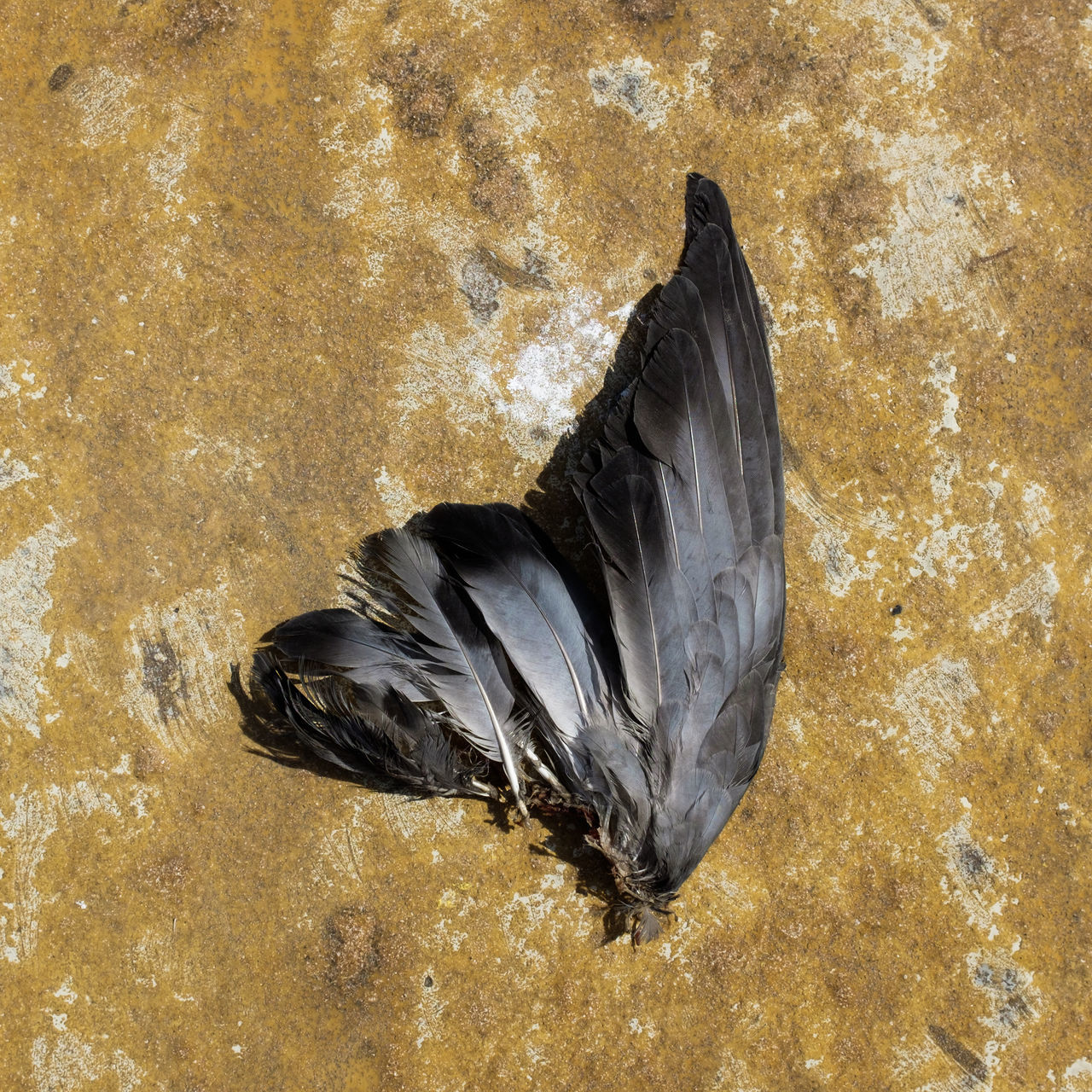 A bird's wing found while exploring the streets of Porto, Portugal. This scenery kept me wondering what might have happened to this poor fellow. Animal Themes Animal Wildlife Bird Birds Close-up Day Dead Animal Fly Nature No People Outdoors Portugal Square Sunlight Wing First Eyeem Photo