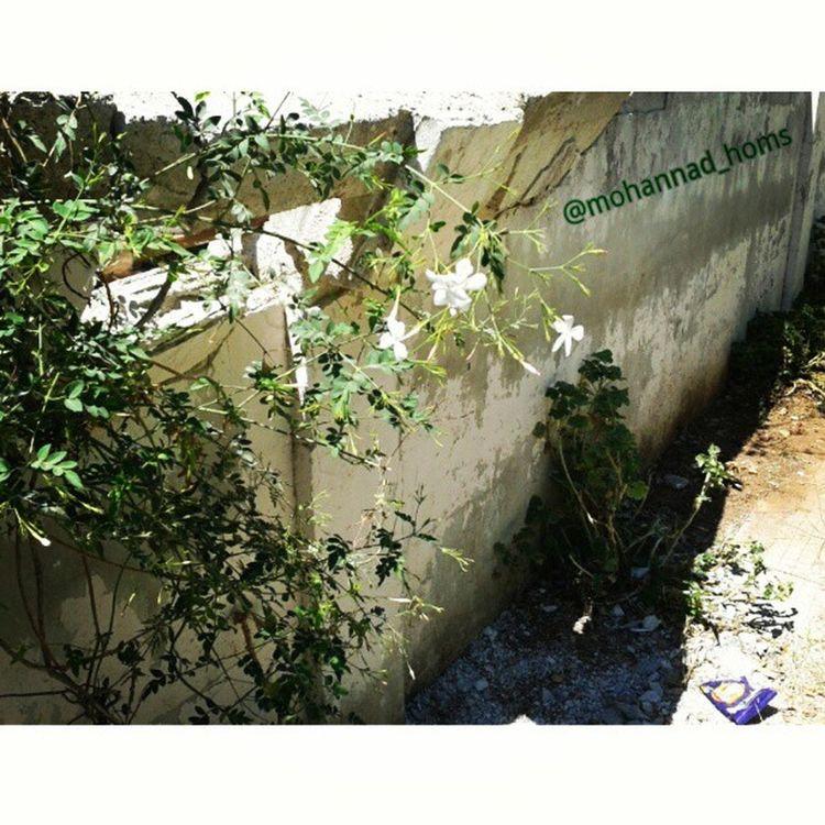يادني شتي ياسمين ... هنا_حمص .. حيث أثر قذيفة استطاعت أن تحدث قليلا من الدمار على جدار يعانقه الياسمين .. لكنها لم تستطع قتلها .. حتى الياسمين صامد .. ! حمص_العدية .. حمص اليوم .. عدستي