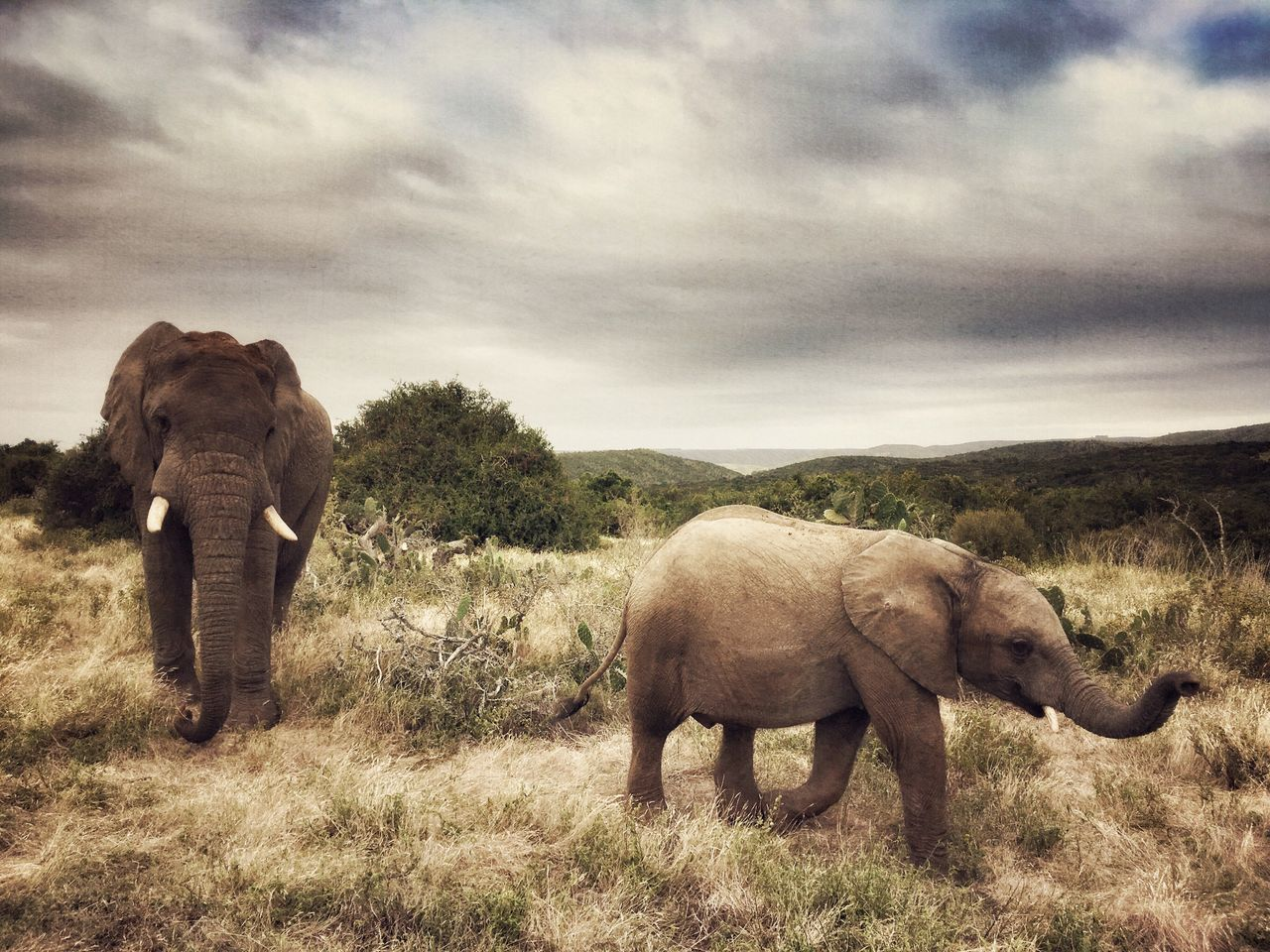 African Elephants, Mother & Calf Elephant Animals In The Wild Animal Themes Sky Animal Wildlife Grass Cloud - Sky Iphoneonly IPhoneography Calf Tree Outdoors Day Nature Tusk African Elephant Mammal Baby Parent Mother Beauty In Nature