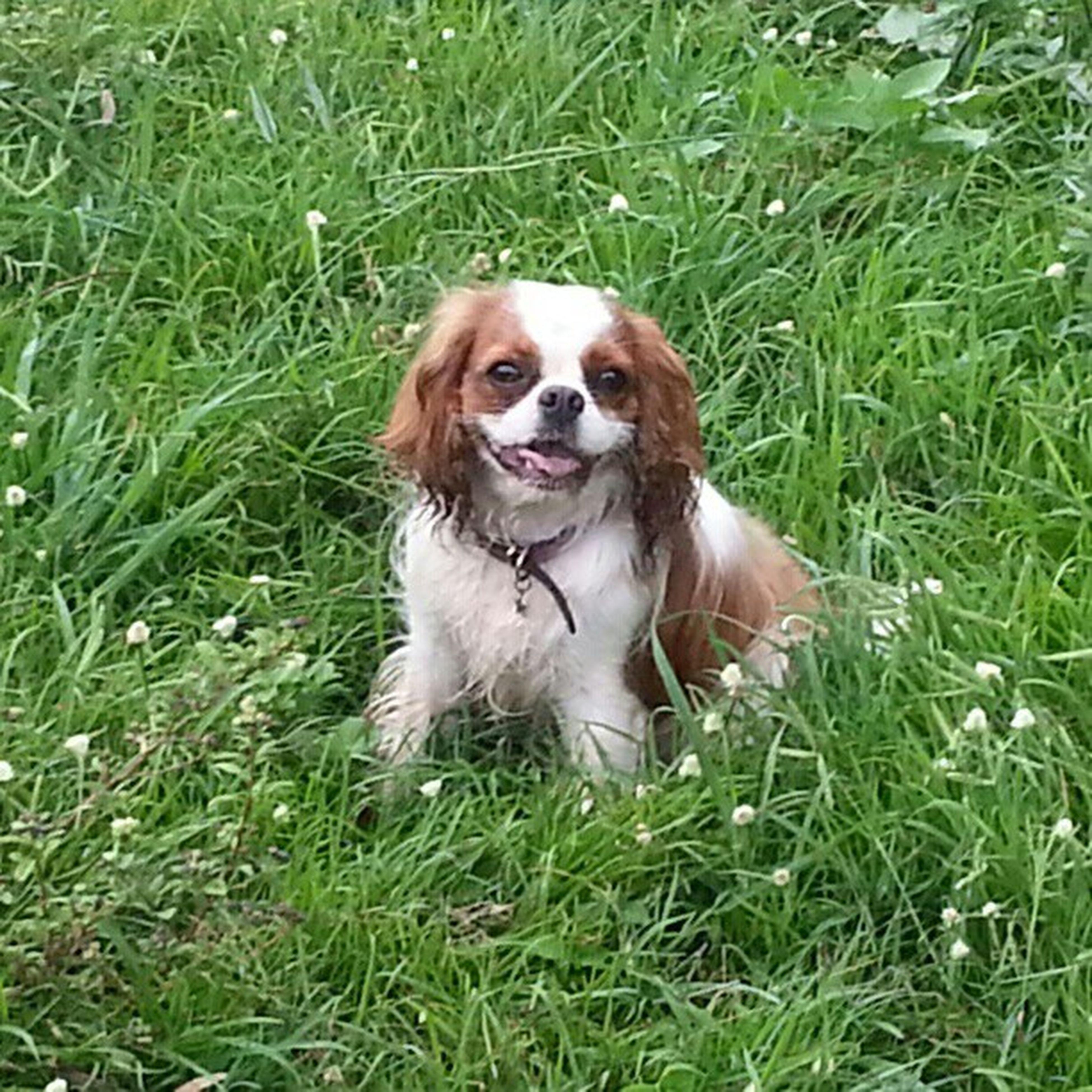 Cavalier  King Charles Spaniel cute dog in grass chelsea