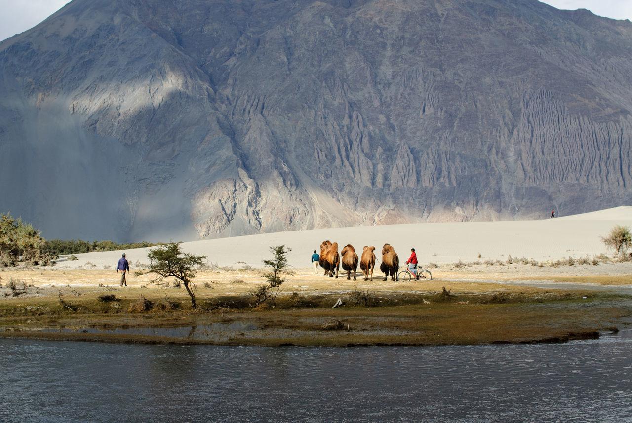 Adventure Bactrian Camel Camel Caravan Desert Himalayas India Jammu And Kashmir Kashmir Ladakh Landscape Mountain Nature Nubra Valley Outdoors Real People River Scenics Silk Road